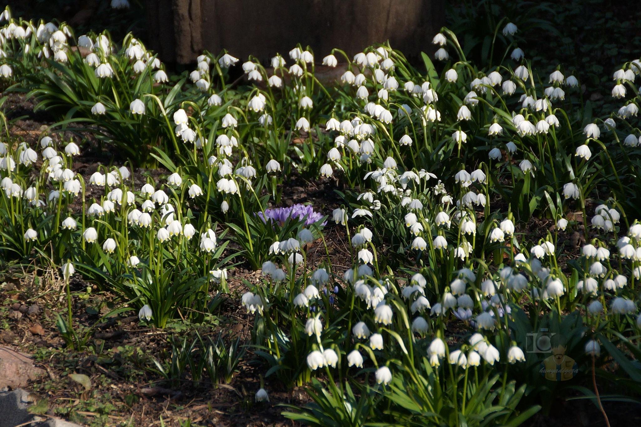Mar.17, flowers in my garden by hunyadigeza