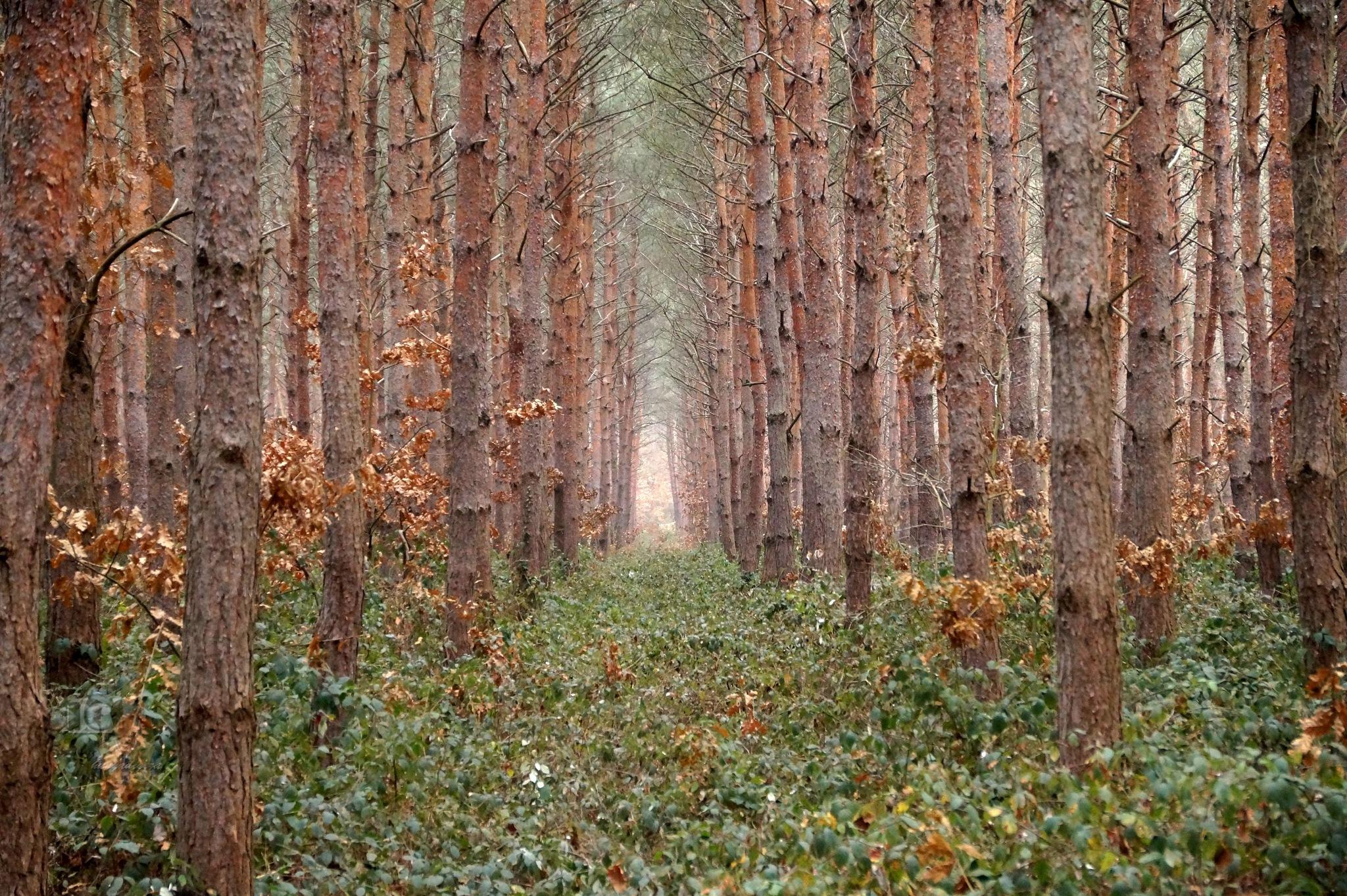 Dec.23, pine forest by hunyadigeza