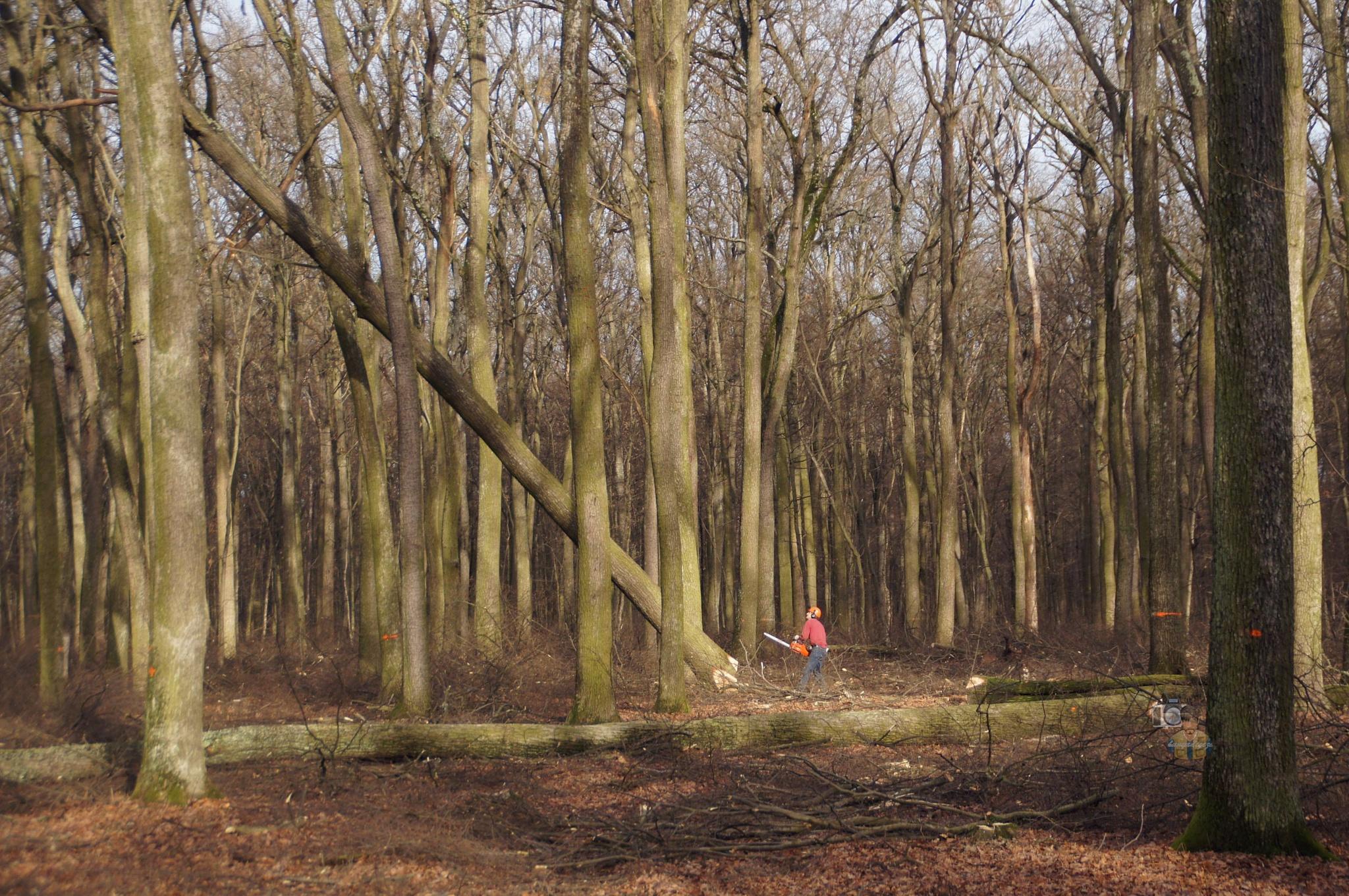 11.01.16 tree felling by hunyadigeza