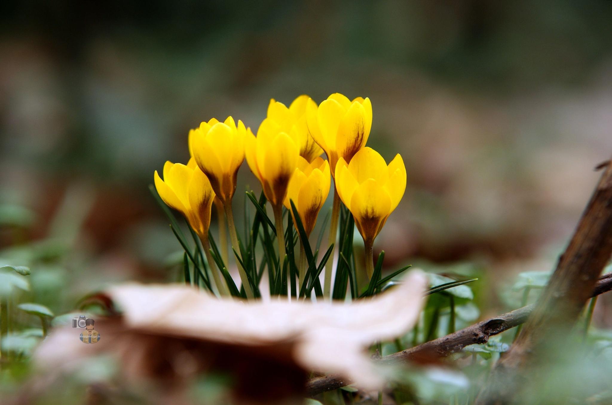 28.02.16. Crocus yellow by hunyadigeza