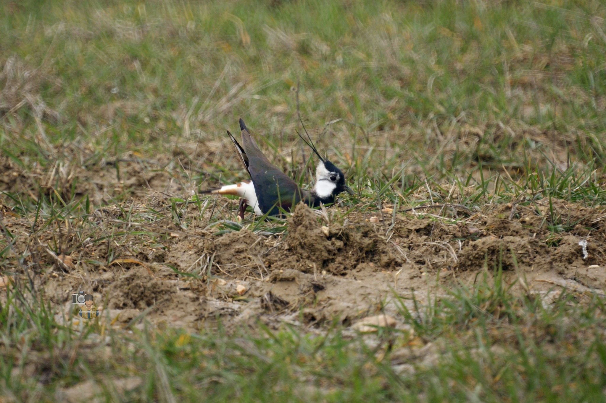 Photo in Nature #spring #wildlife #nature #birds #sony #lapwing