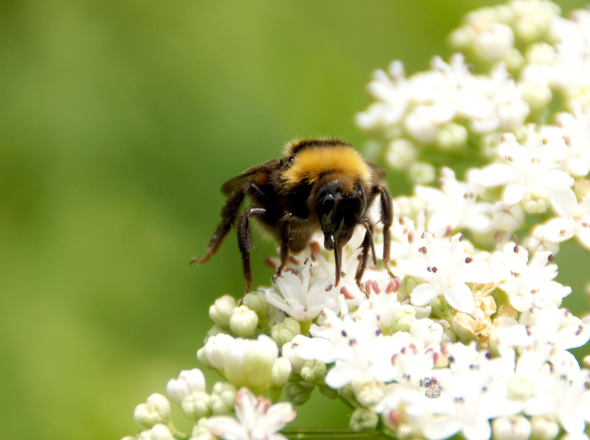 bumble bee by hunyadigeza