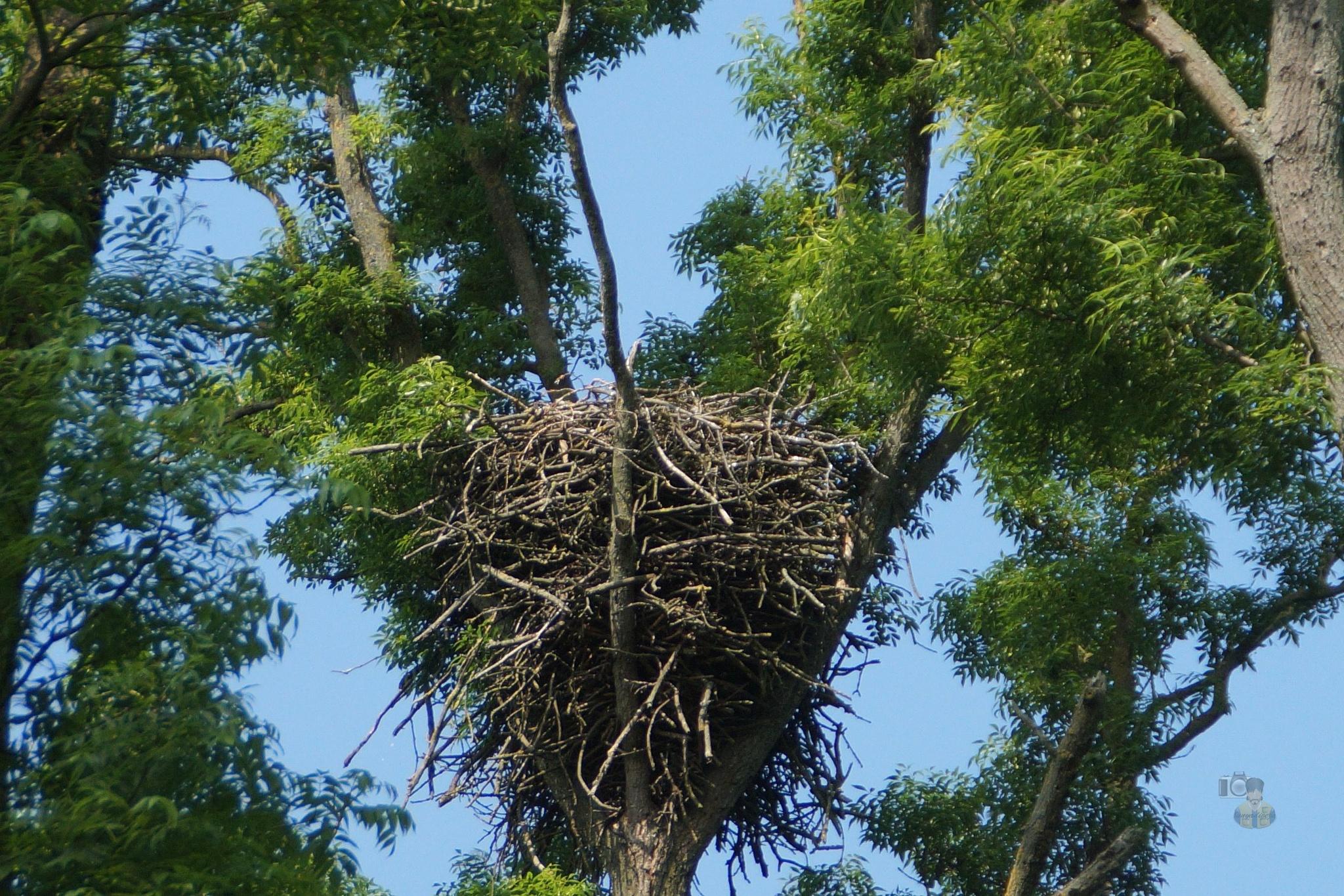 May 26.16. eagle nest by hunyadigeza