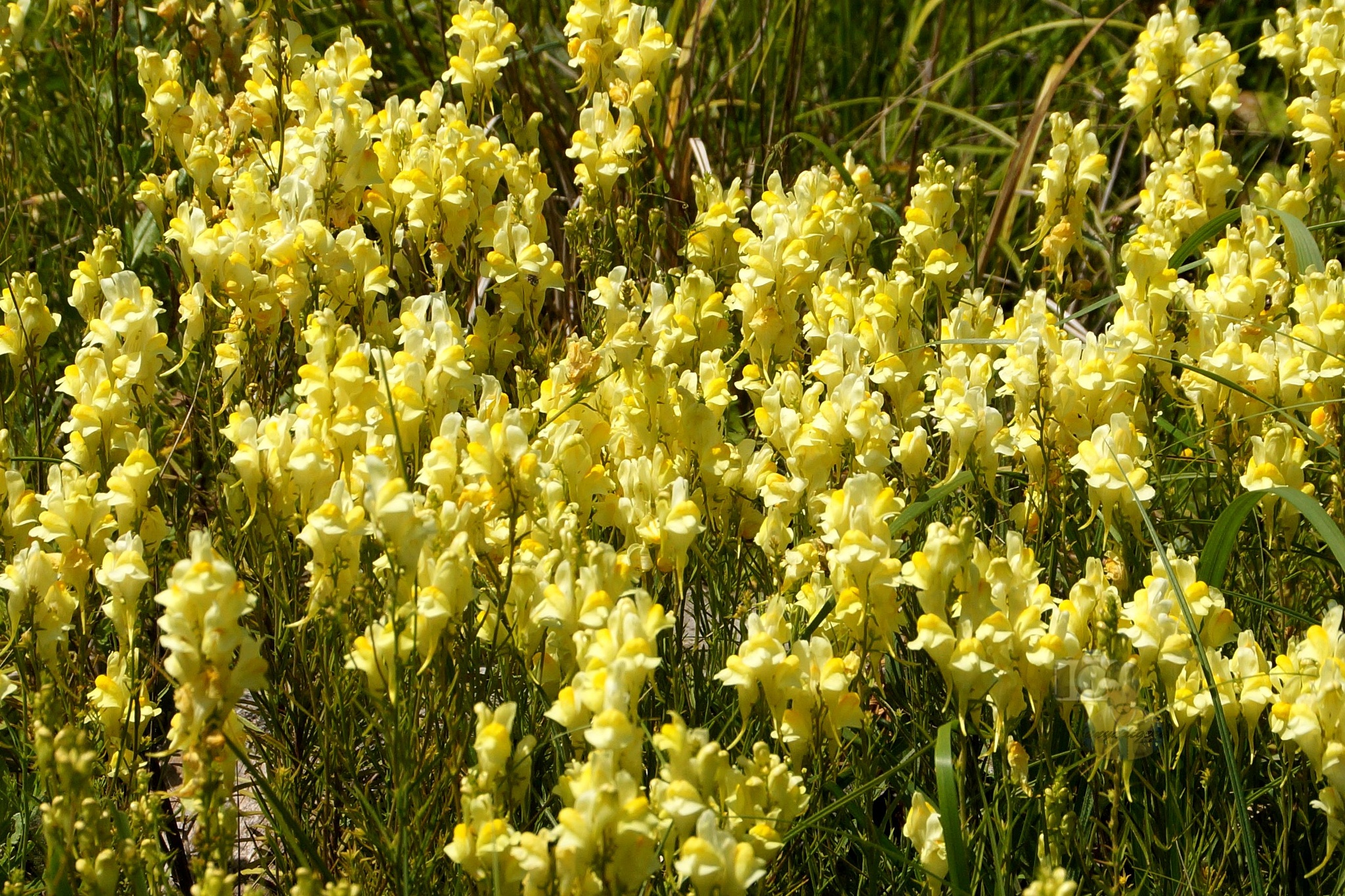 """June 23,16. common toadflax, yellow toadflax, or """"butter-and-eggs"""" carpet by hunyadigeza"""