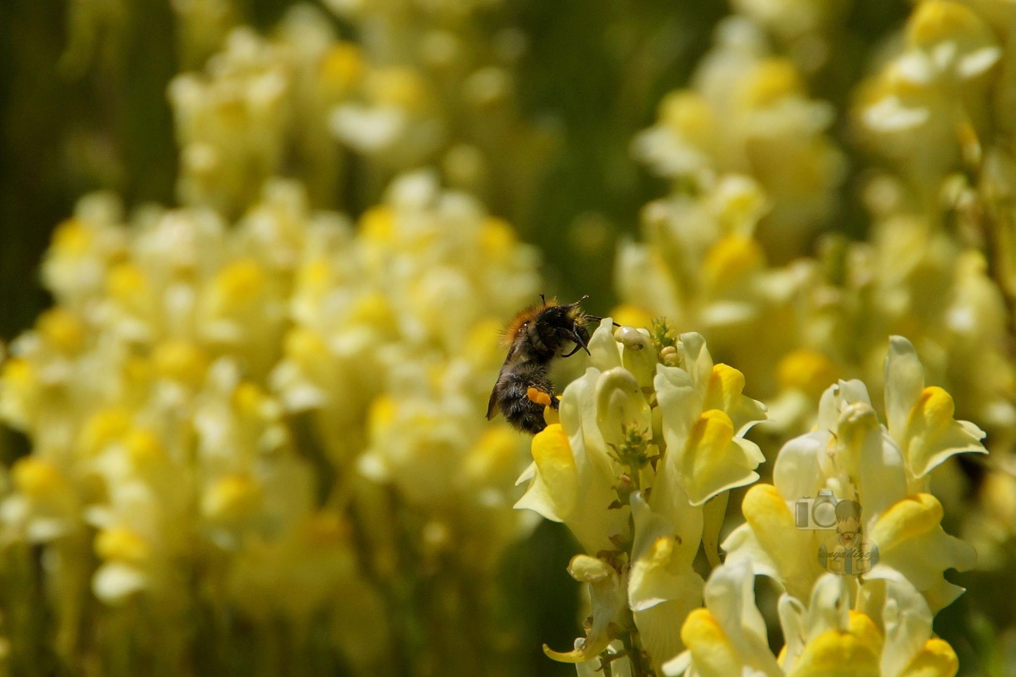 June 23,16. bumlebee & yellow toadflax #1 by hunyadigeza