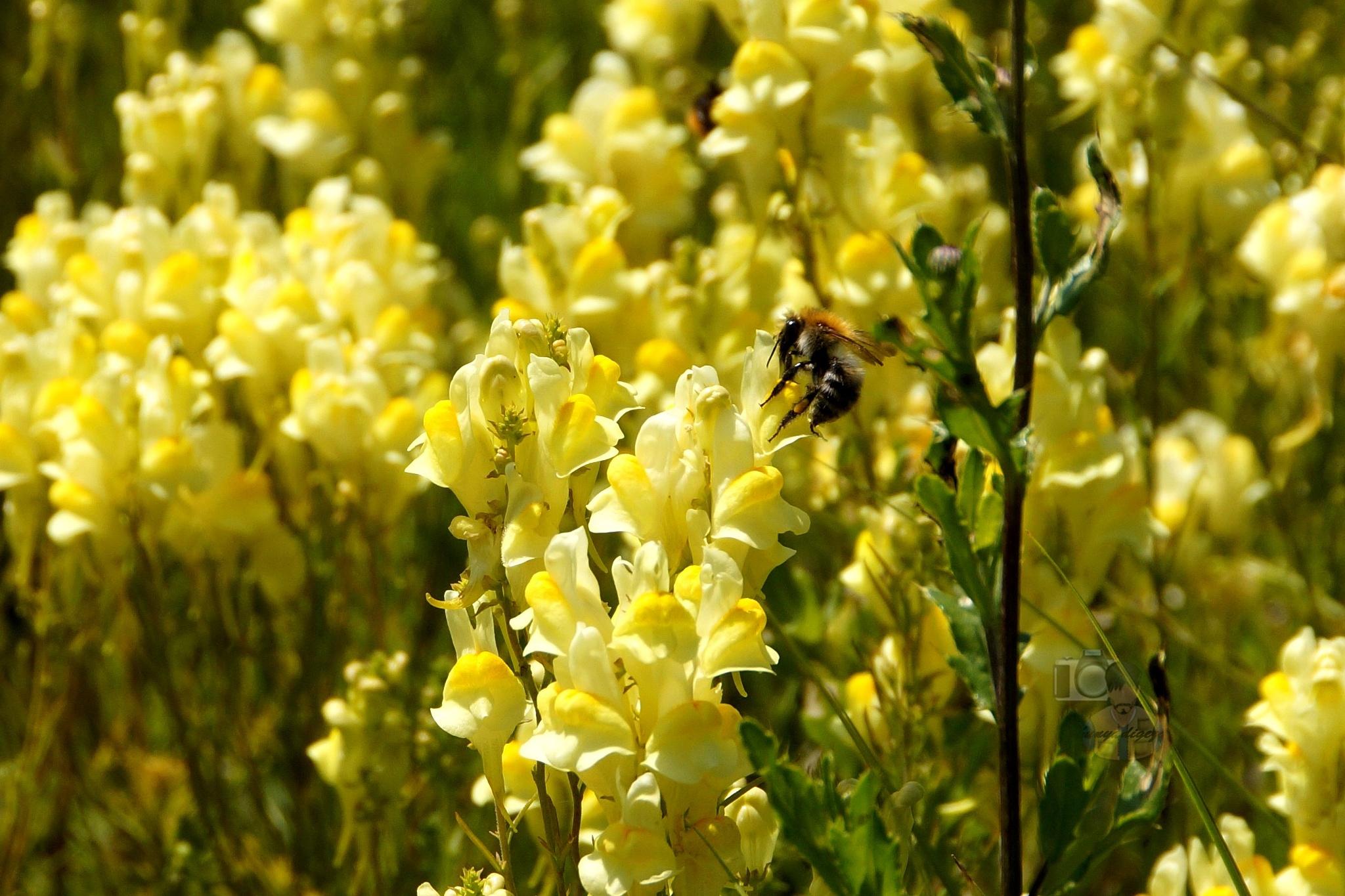June 23,16. bumlebee & yellow toadflax #2 by hunyadigeza