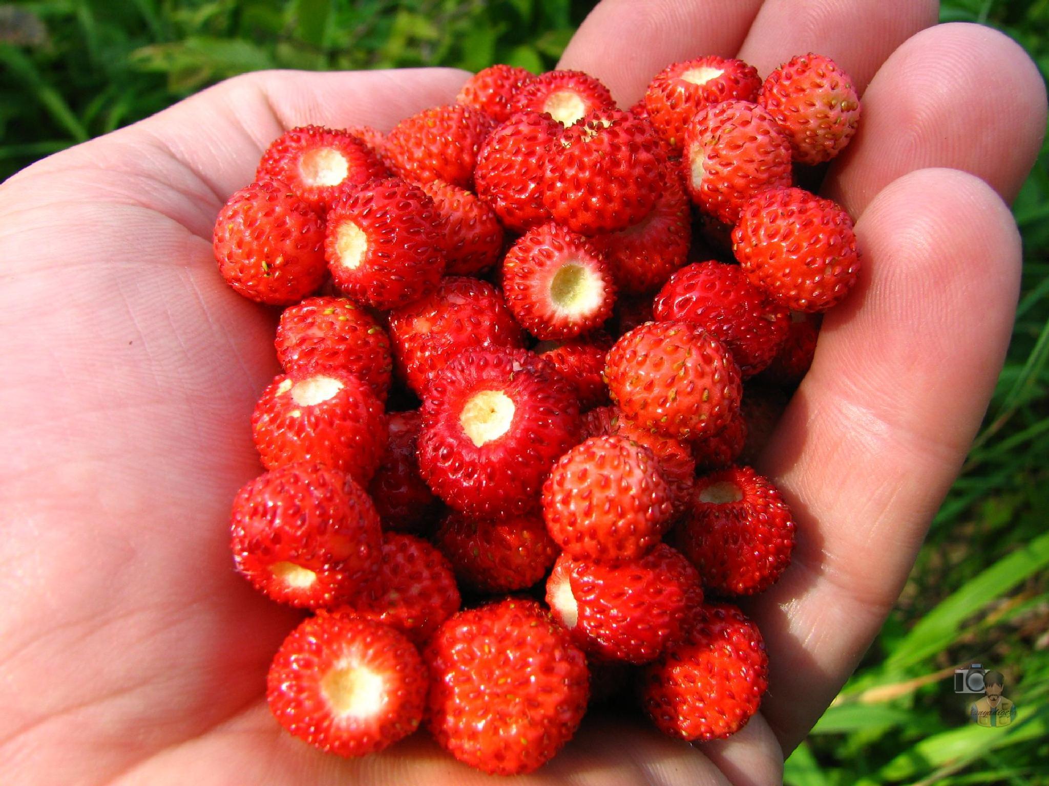 wild strawberry by hunyadigeza