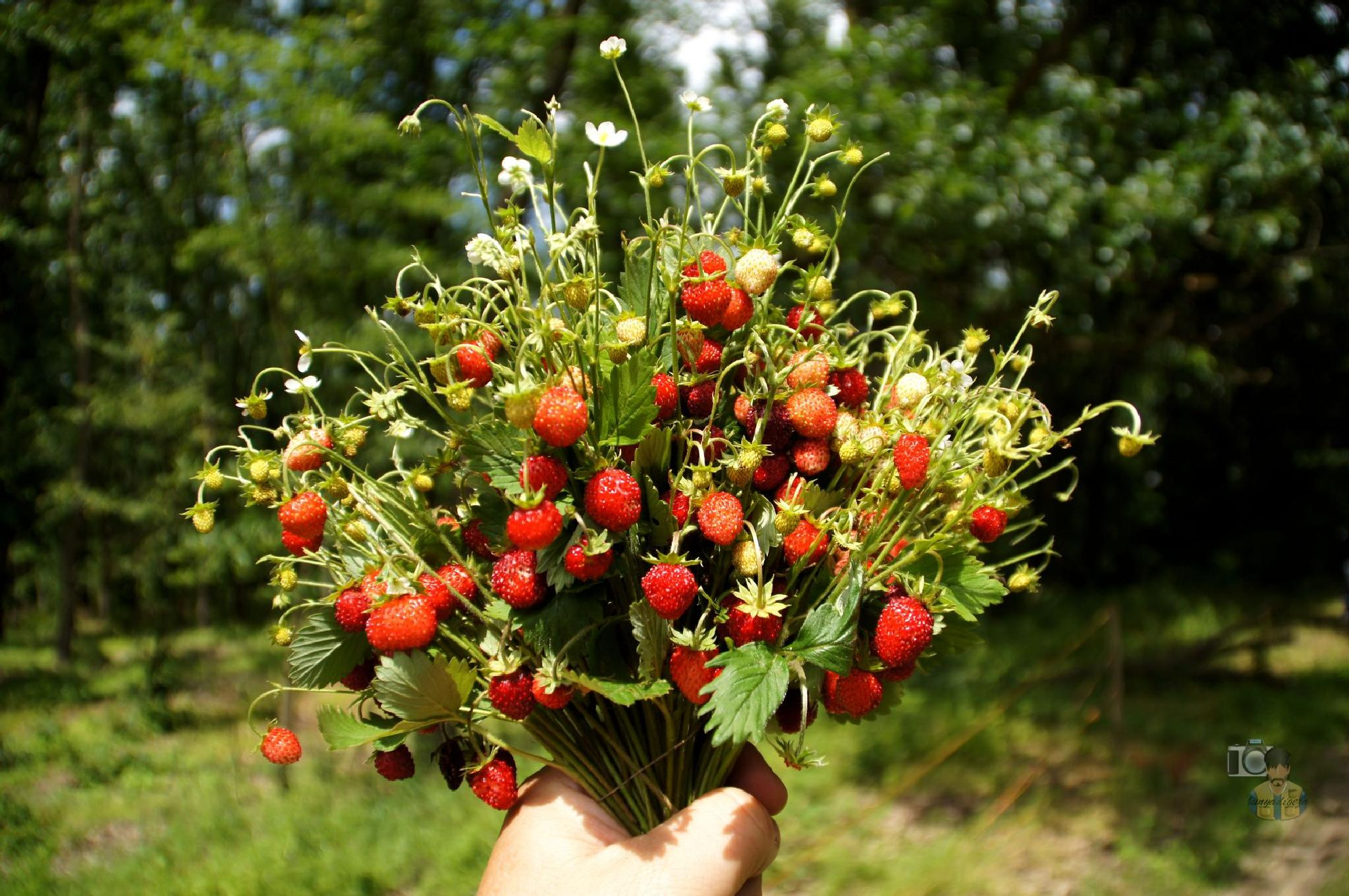 bunch of wild strawberry by hunyadigeza