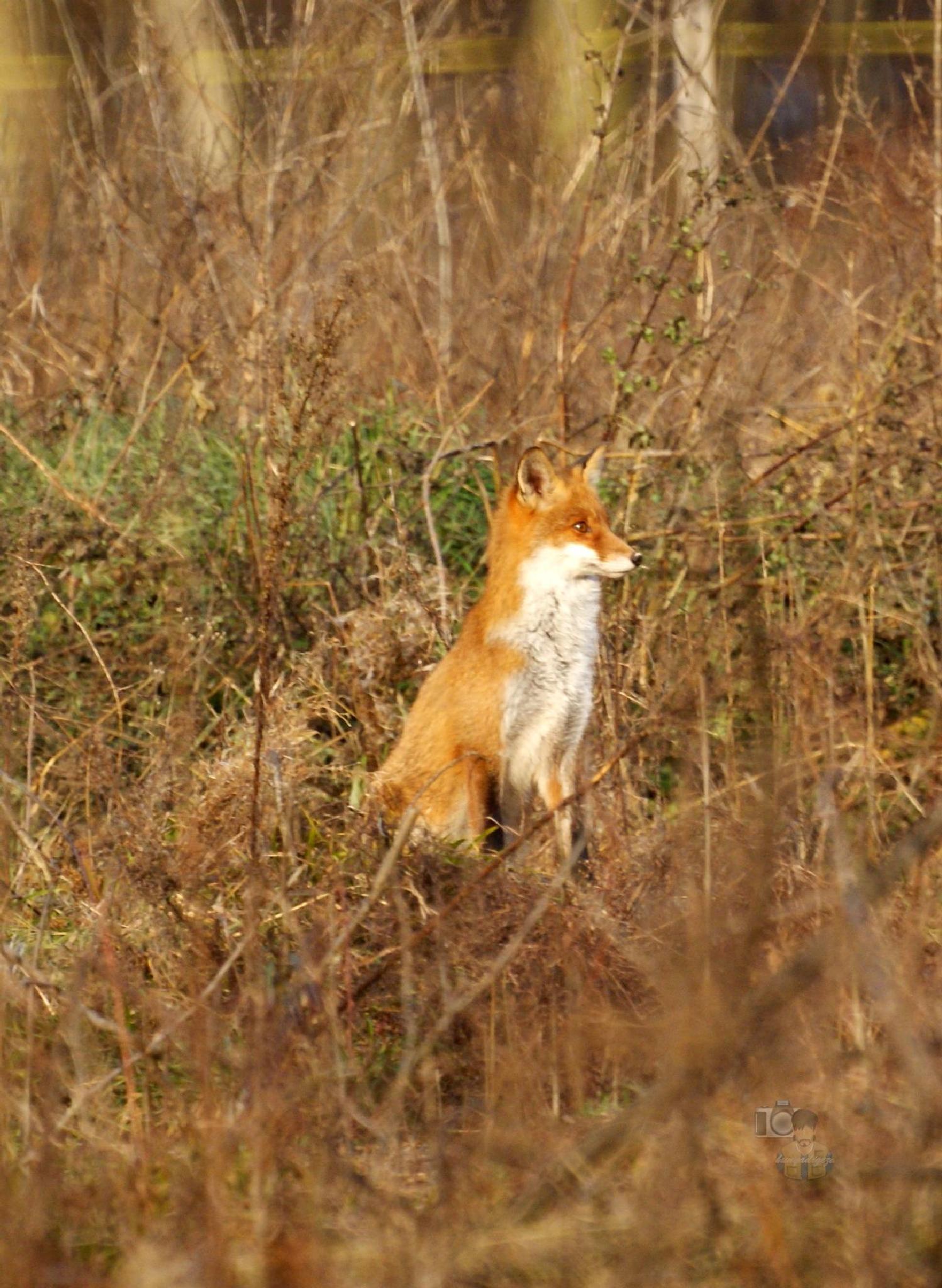 Fox 2 by hunyadigeza