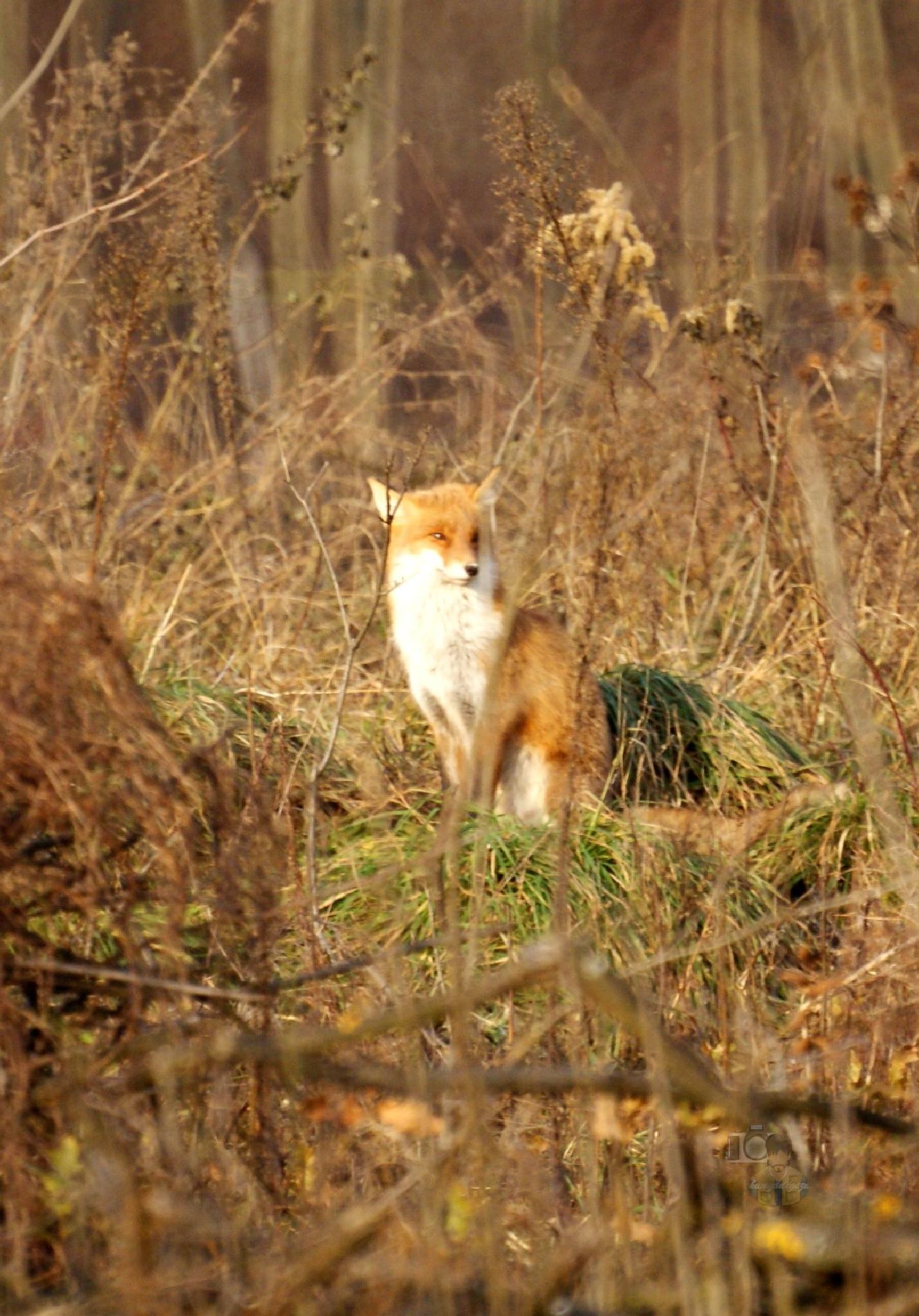 Fox 3 by hunyadigeza