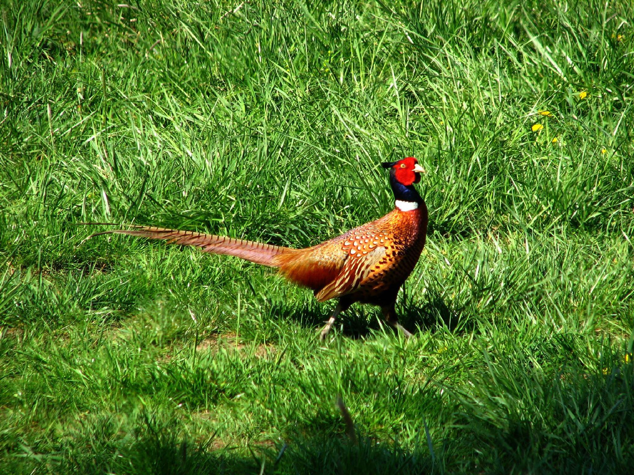 pheasant by hunyadigeza