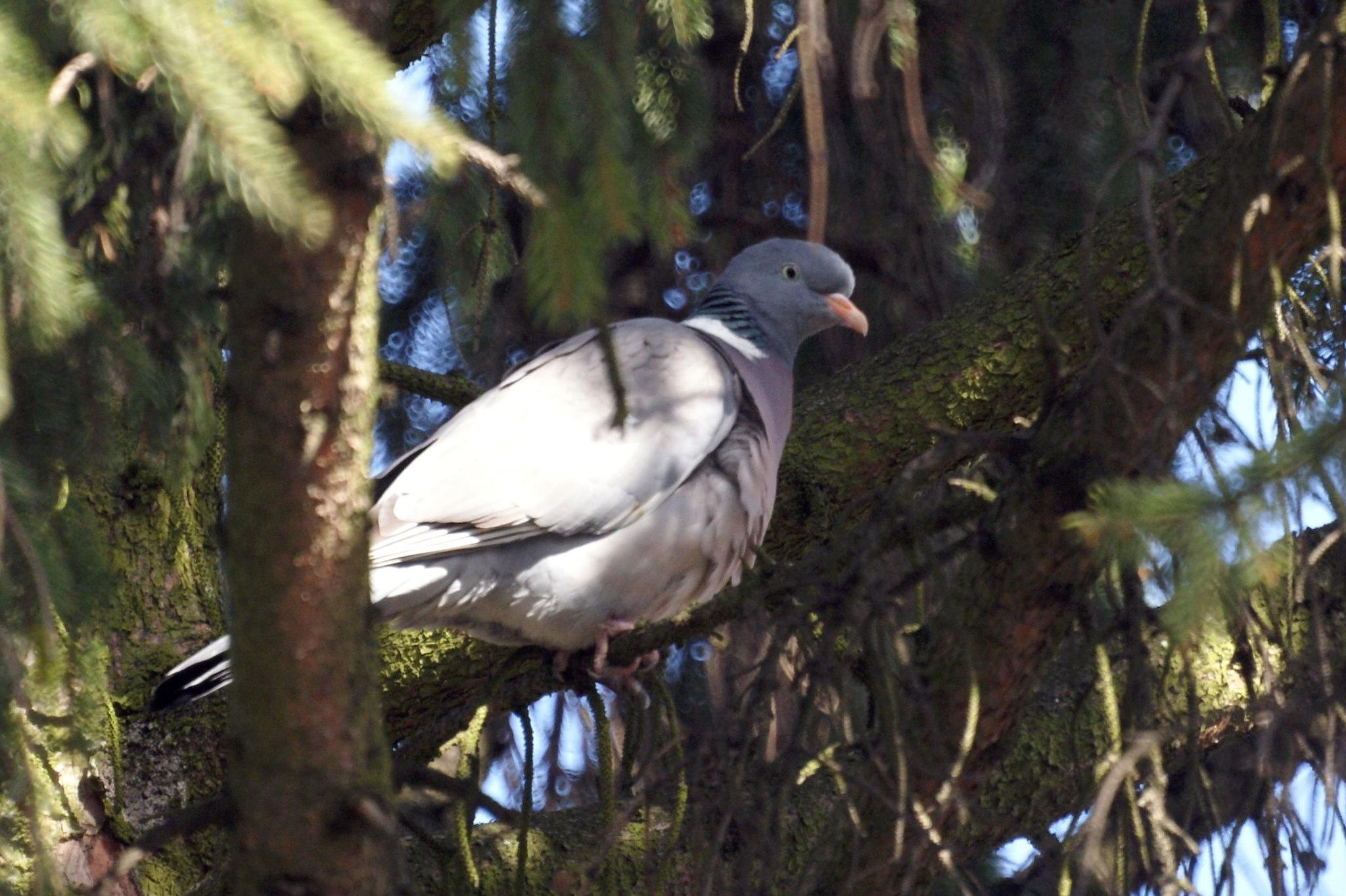 Ring Dove/Wood Pigeon (Columba palumbus) by hunyadigeza