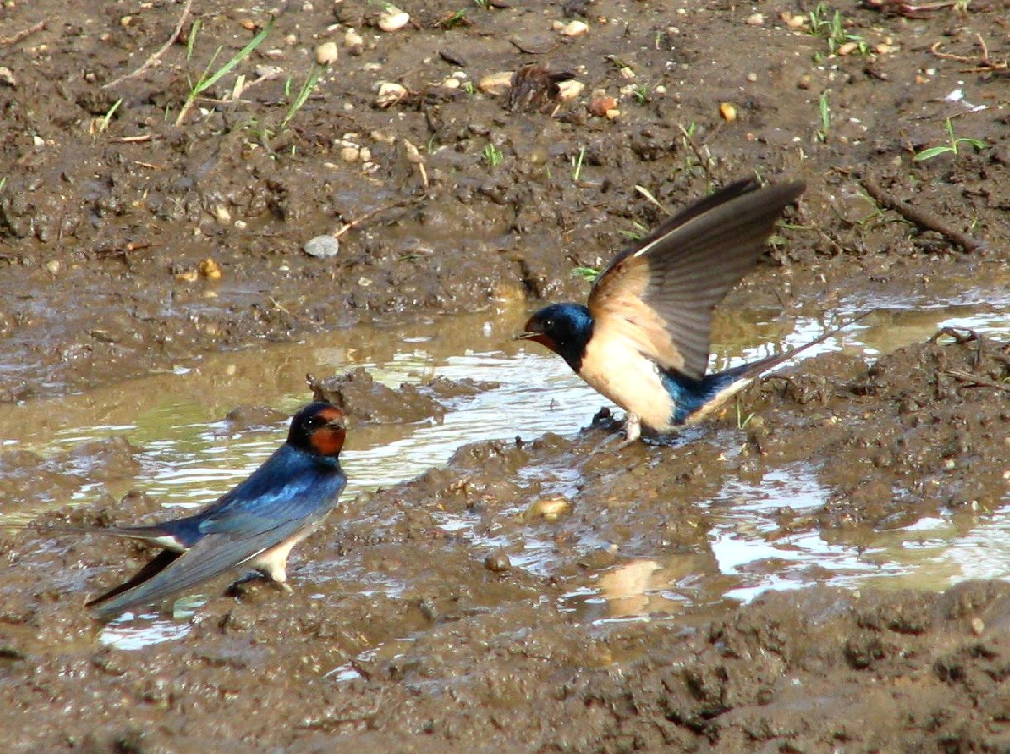 swallows by hunyadigeza