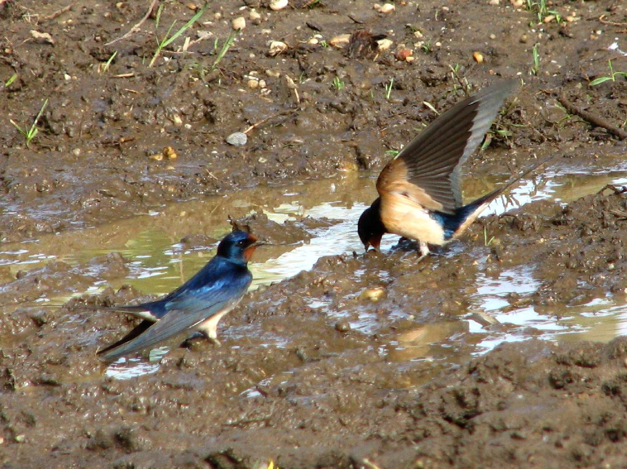 swallows in mud by hunyadigeza