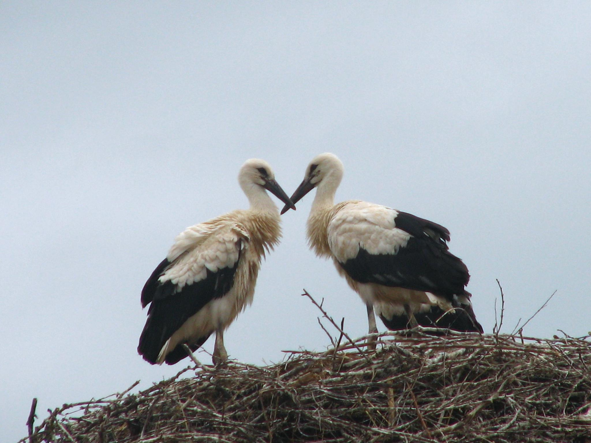 young white storks by hunyadigeza
