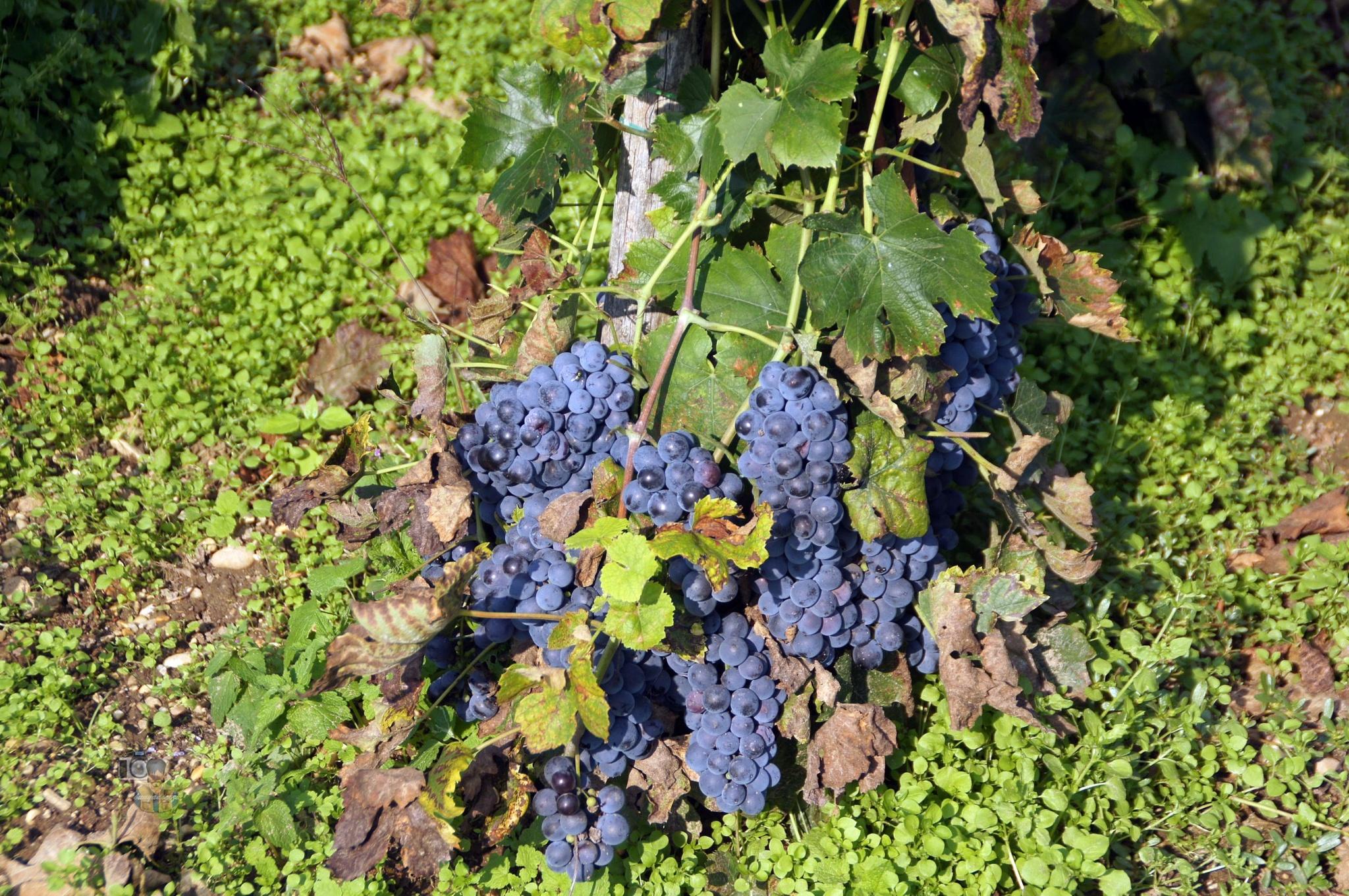 vineyard #2 grapes by hunyadigeza