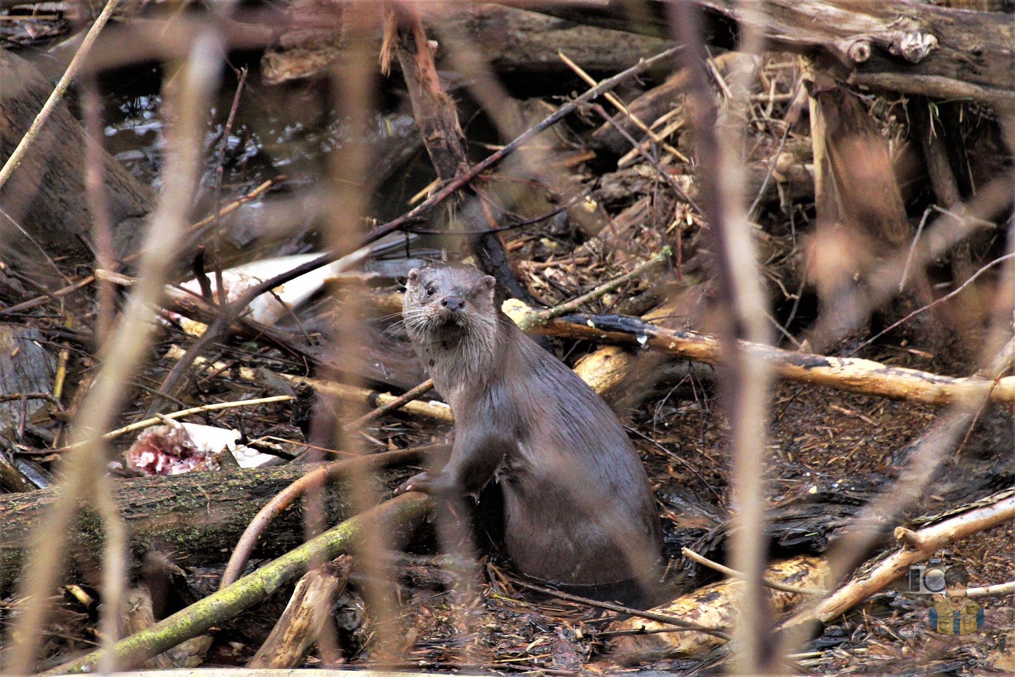 February 13, yesterday, The otter on driftwood with fish by hunyadigeza