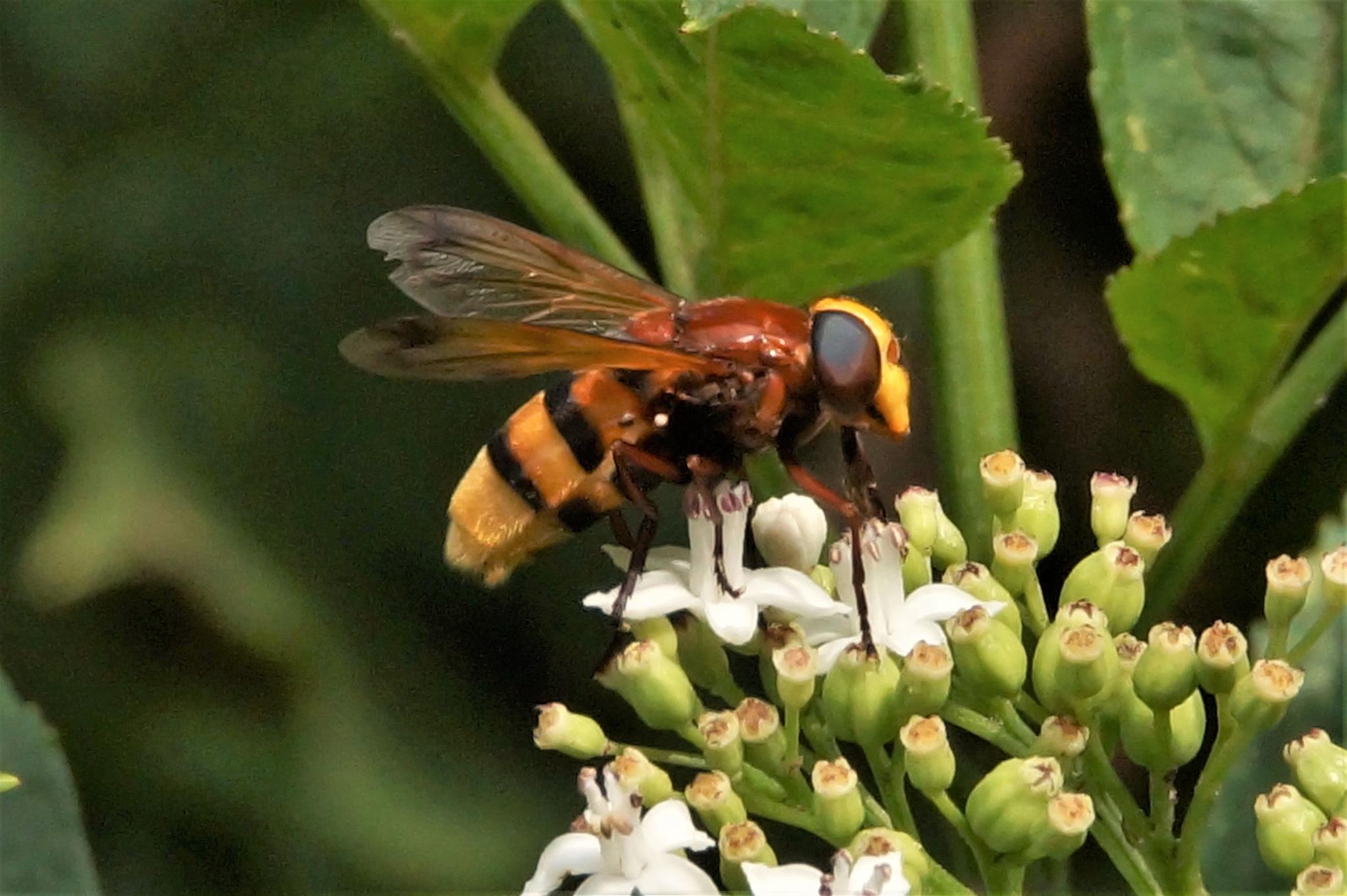 July 16, the hornet mimic hoverfly by hunyadigeza