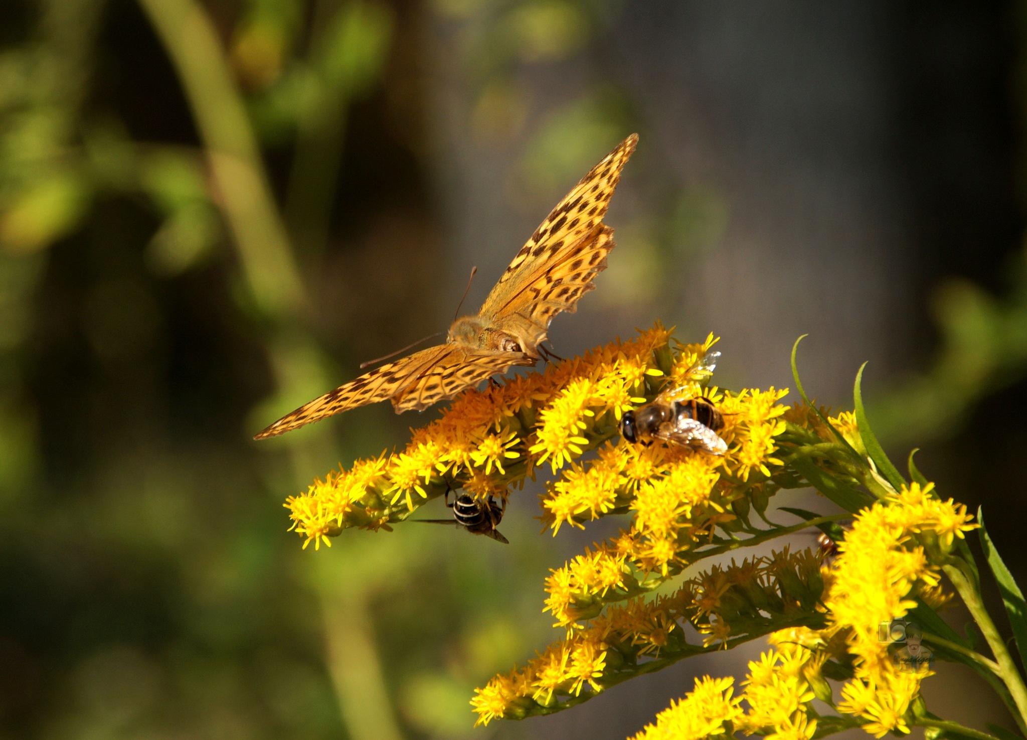 Sep.14, butterfly #2 silver-washed fritillary female by hunyadigeza