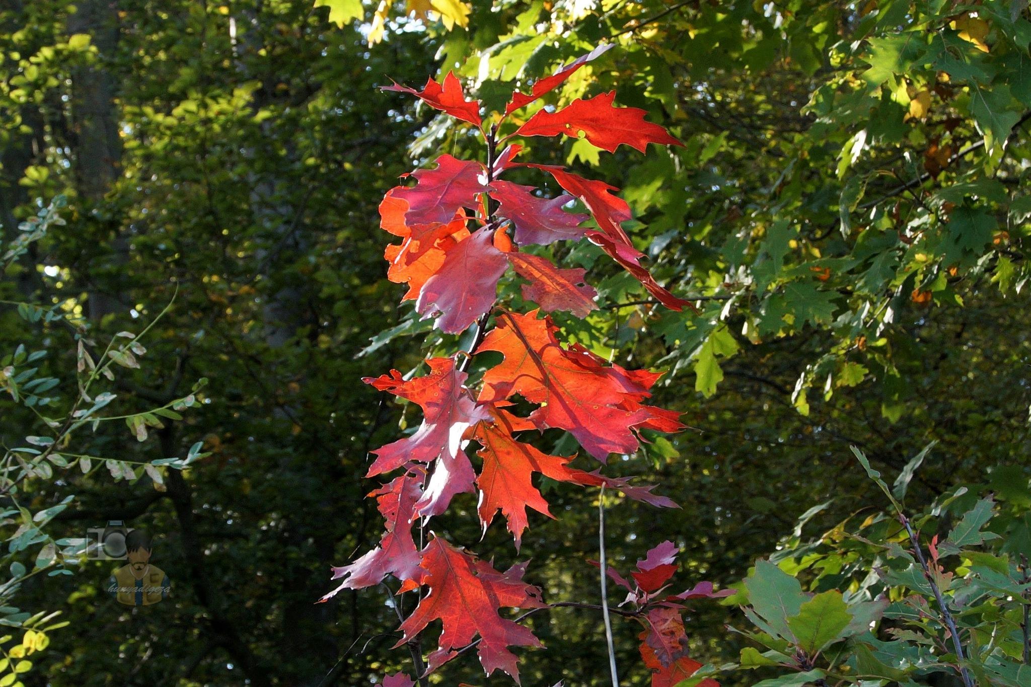 Oct.11, autumn leafs #1 by hunyadigeza