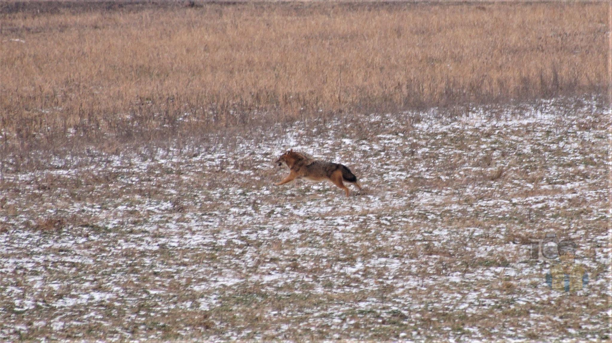 January 26, today, jackal run on snowy meadow by hunyadigeza
