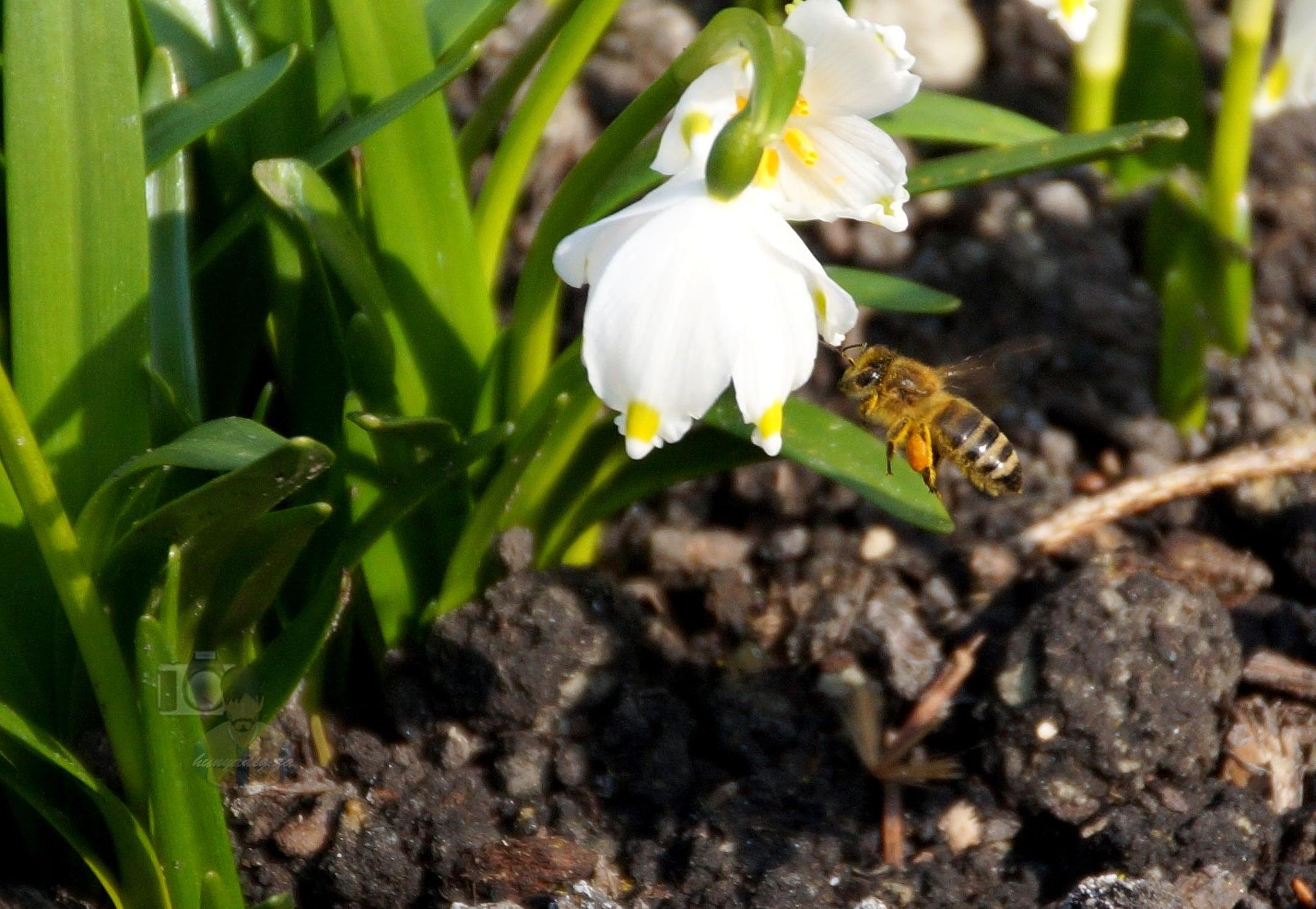 Mar.17, spring snowflake & honeybee by hunyadigeza