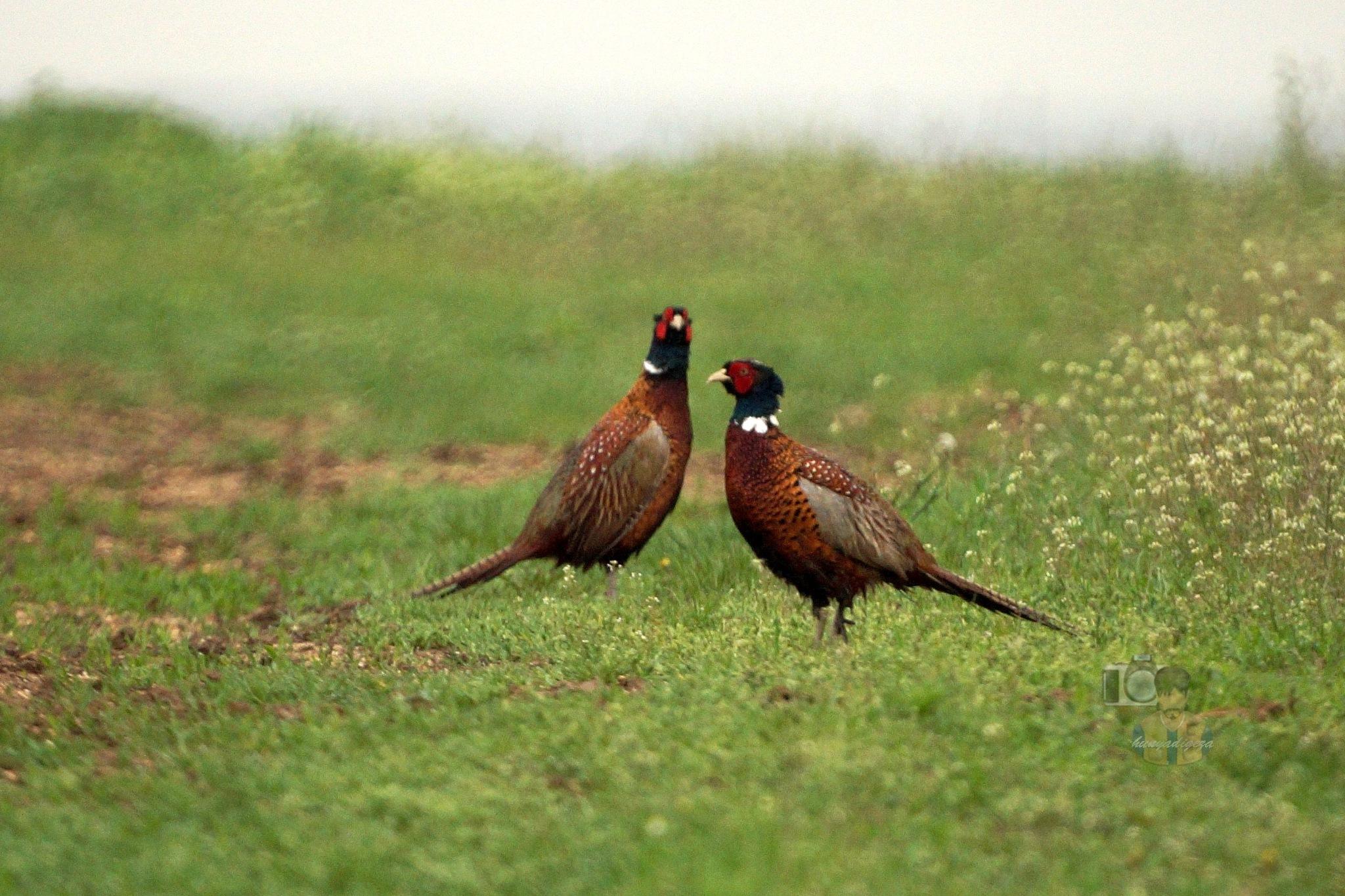 May.05, Pheasant cocks in rain by hunyadigeza