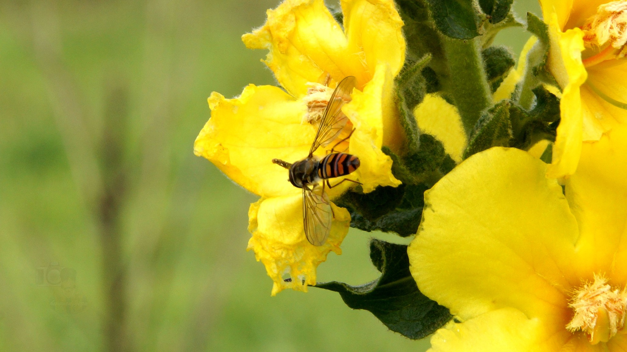 Oct.25, last flower and last hoverfly by hunyadigeza