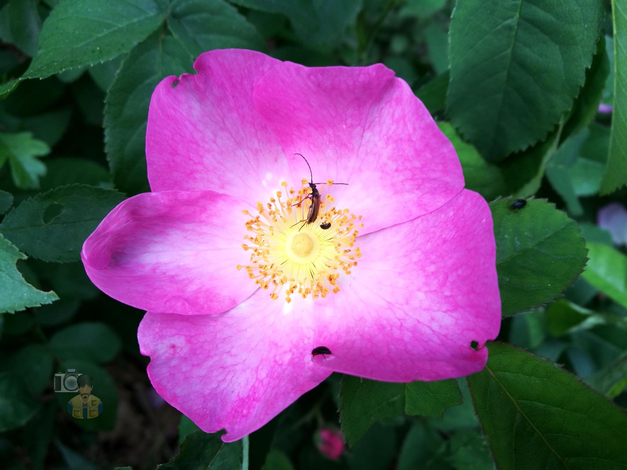 May.22, Wild Rose by hunyadigeza
