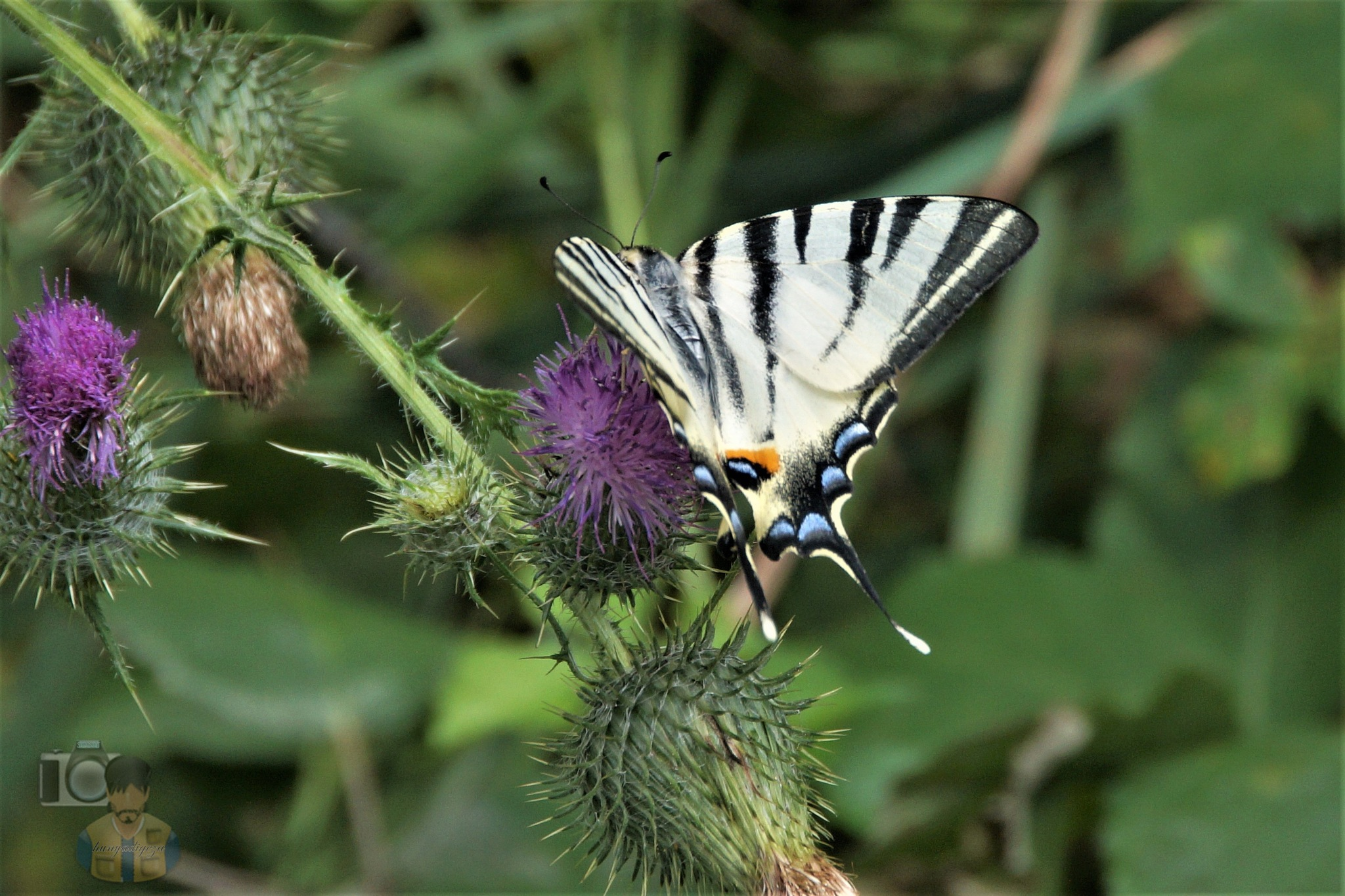 Aug.07, The scarce swallowtail #2 by hunyadigeza