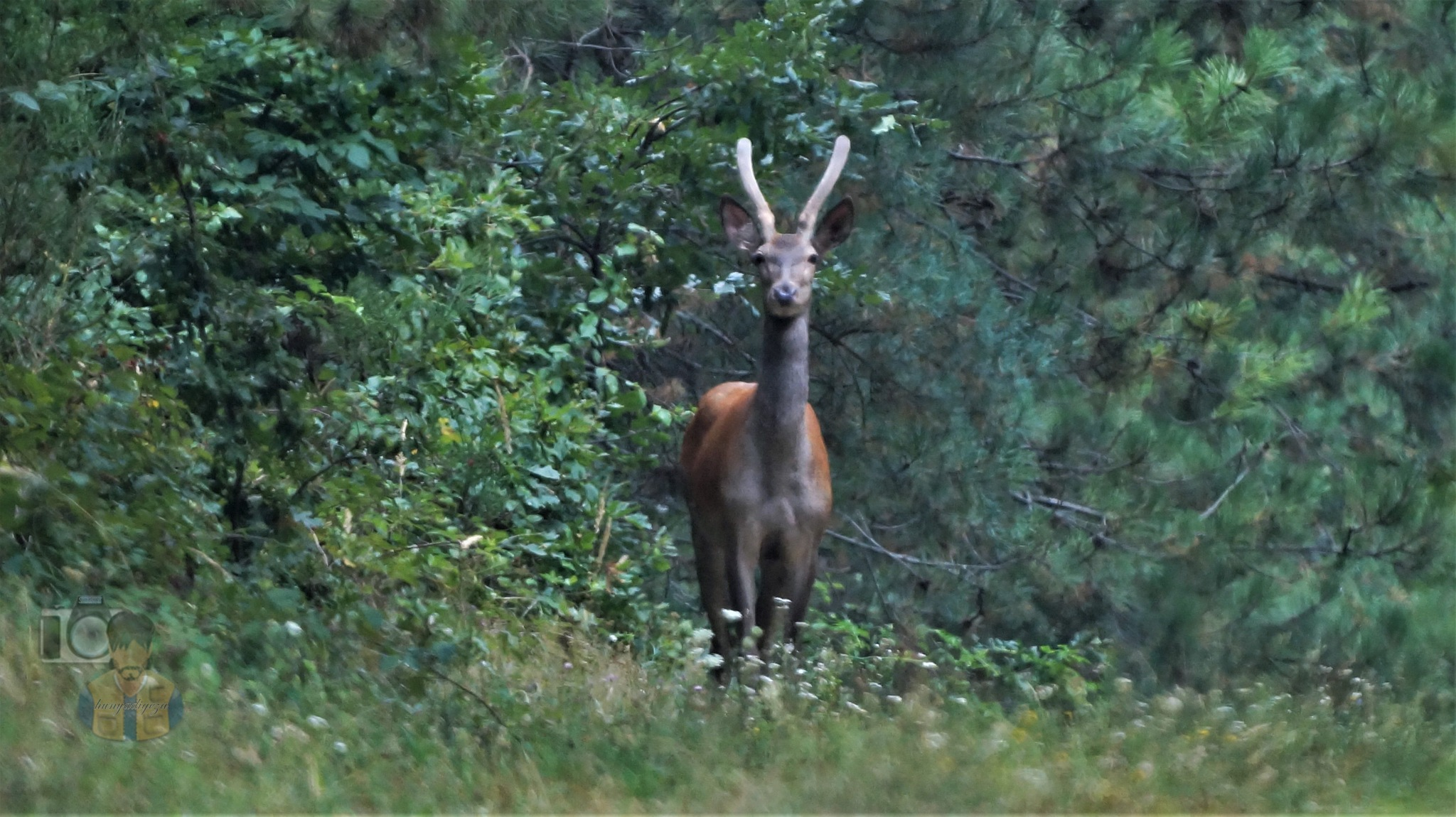 Aug.07, young red deer bull with velvet antler by hunyadigeza