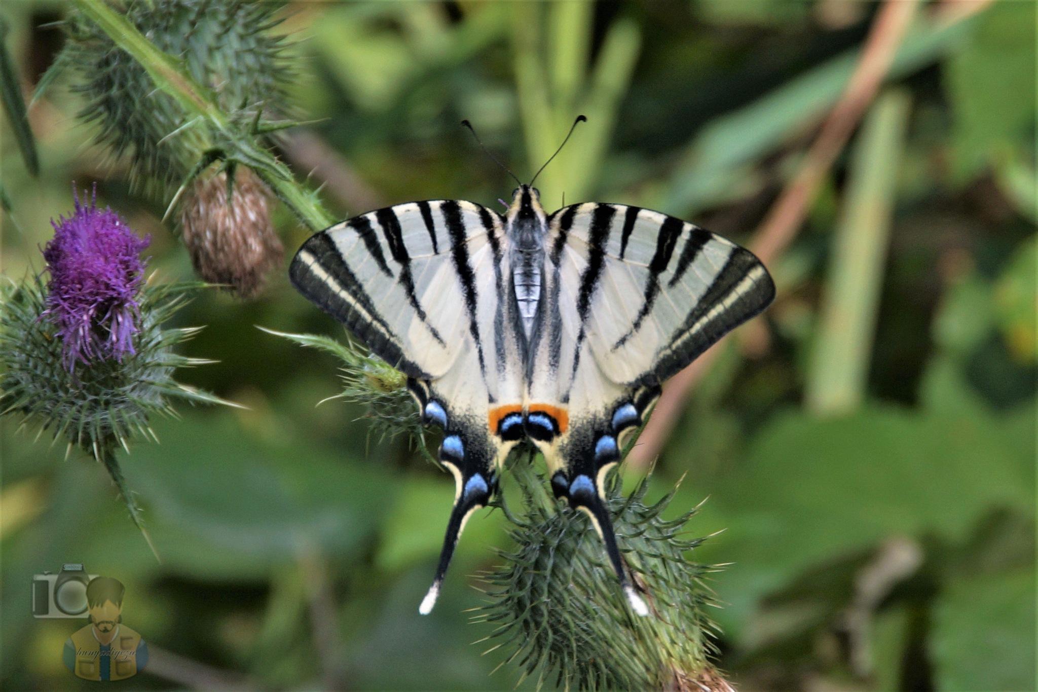 Aug.07, The scarce swallowtail by hunyadigeza