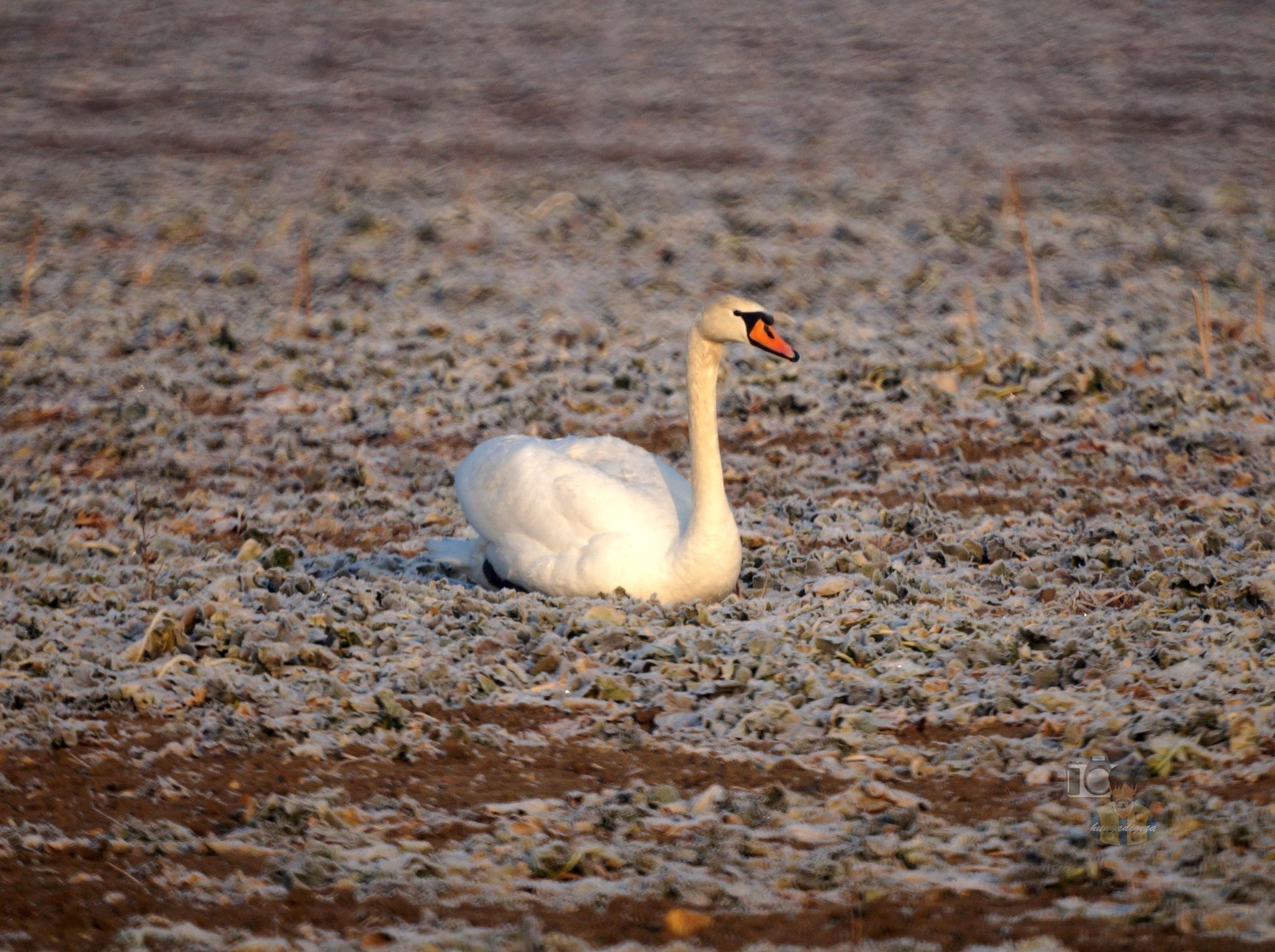 Febr.14, (again) swan in frosty morning sunshine by hunyadigeza