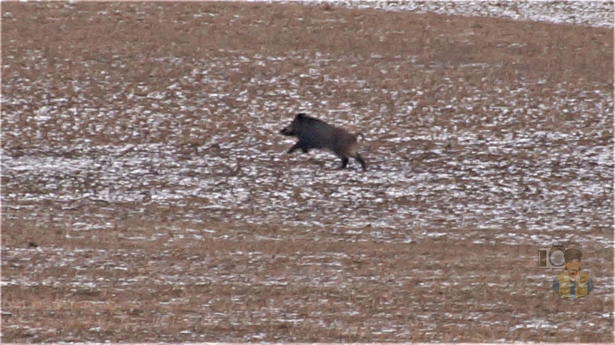 January 26, today, wild boar run on snowy meadow by hunyadigeza