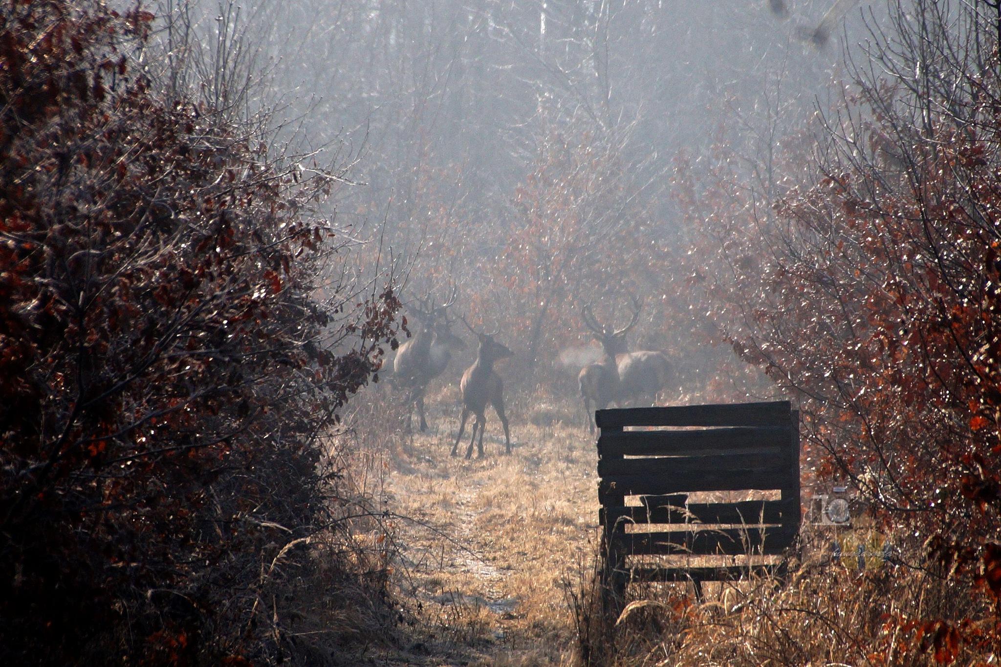 Febr.14, red deers in frosty morning sunshine by hunyadigeza