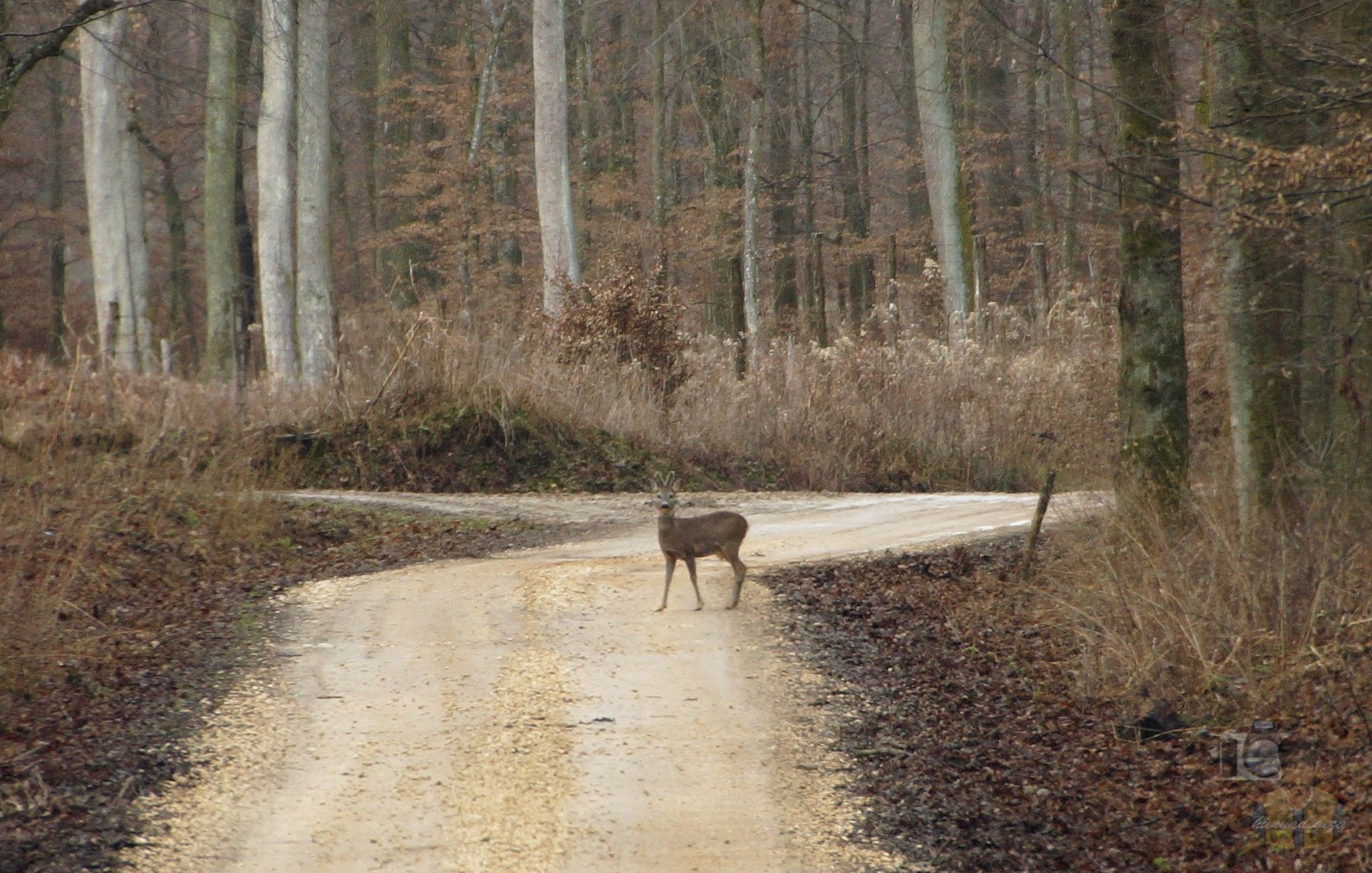 Jan,18, roe deer on forest road by hunyadigeza