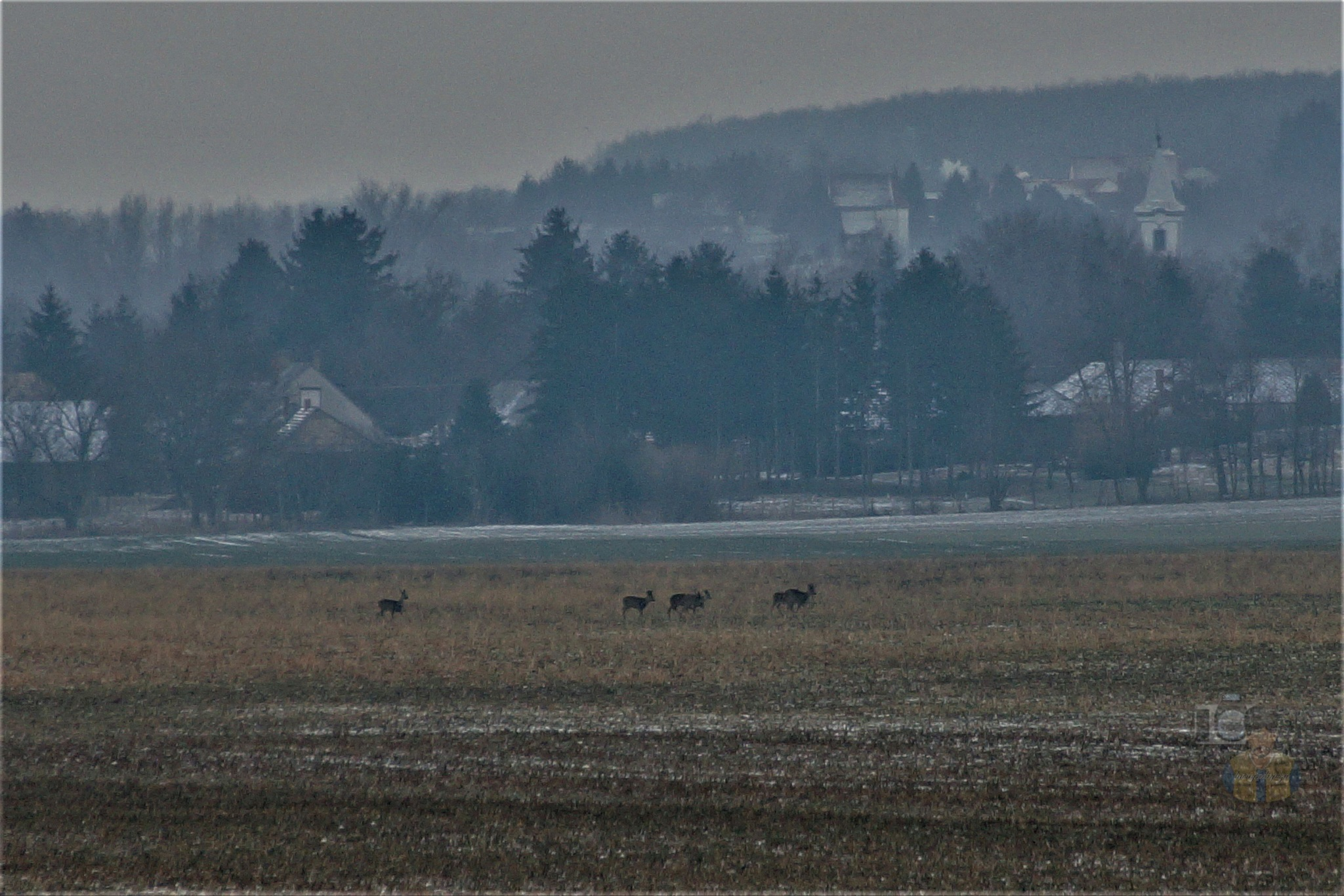 January 26, today, roe deer at the village in foggy frosty morning by hunyadigeza
