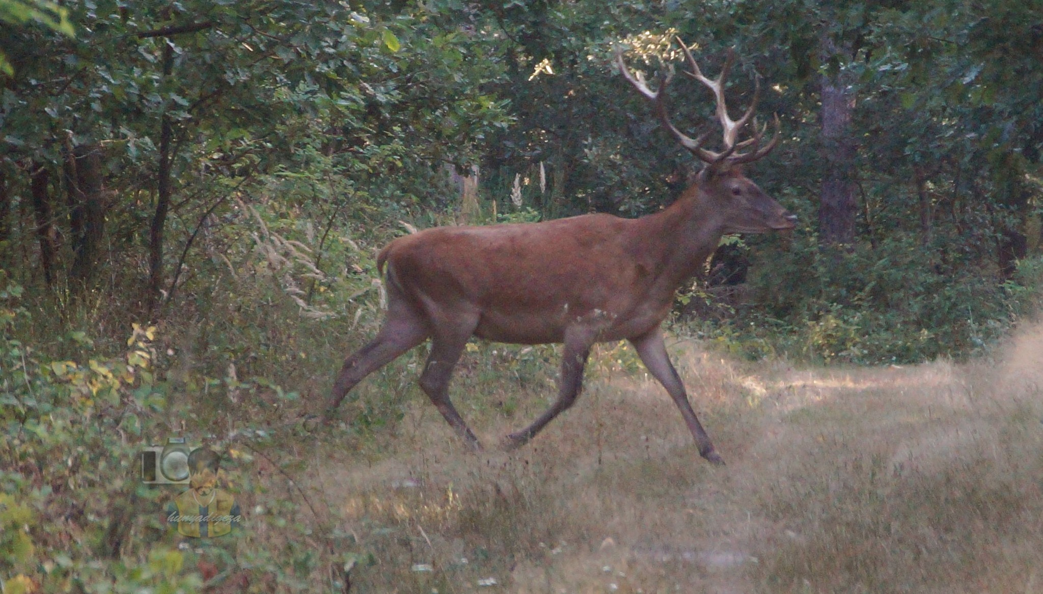 Aug. 01, red deer buck on forest path #3 by hunyadigeza