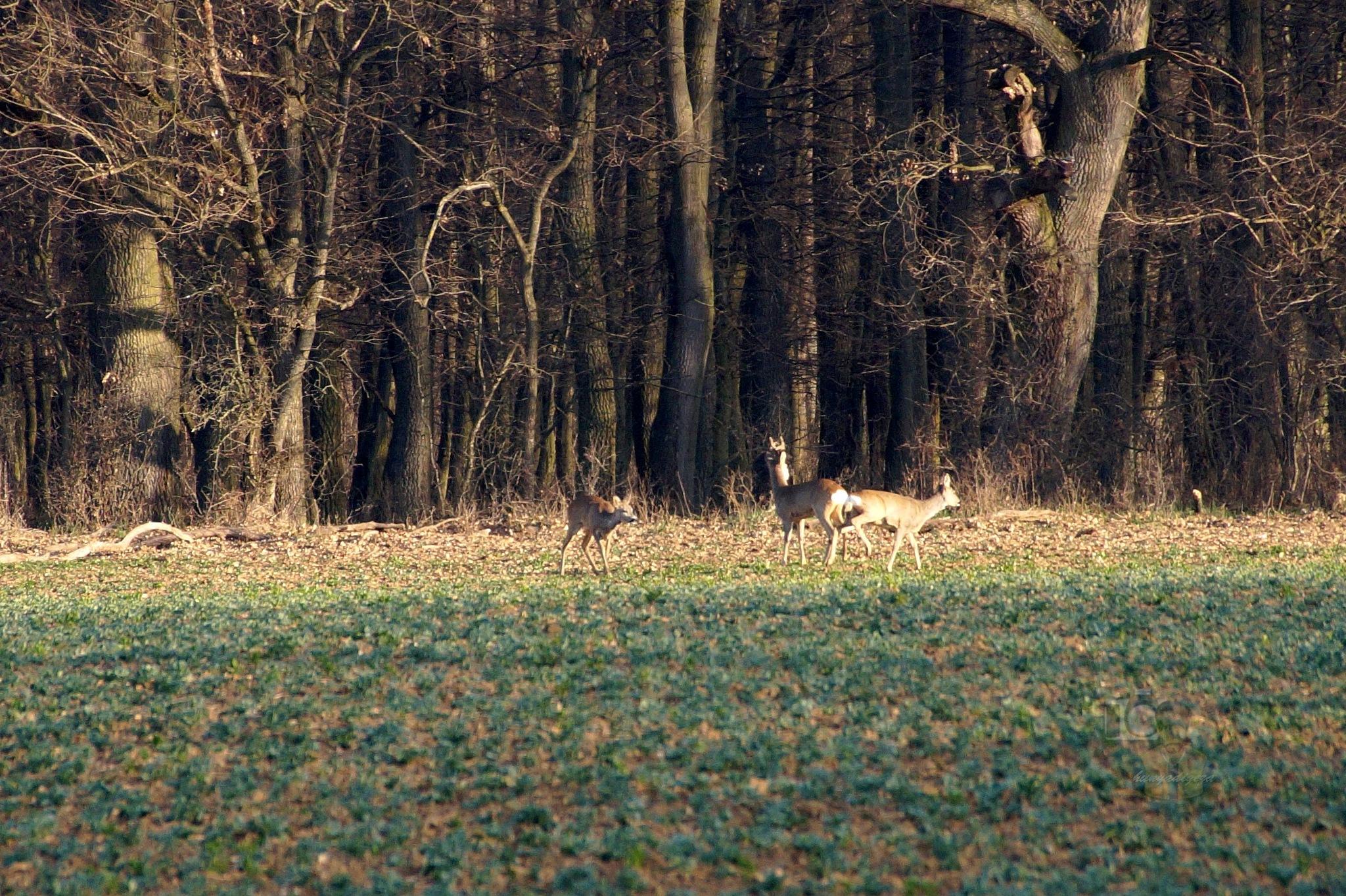 Mar.17, roe deers in morning sunshine by hunyadigeza