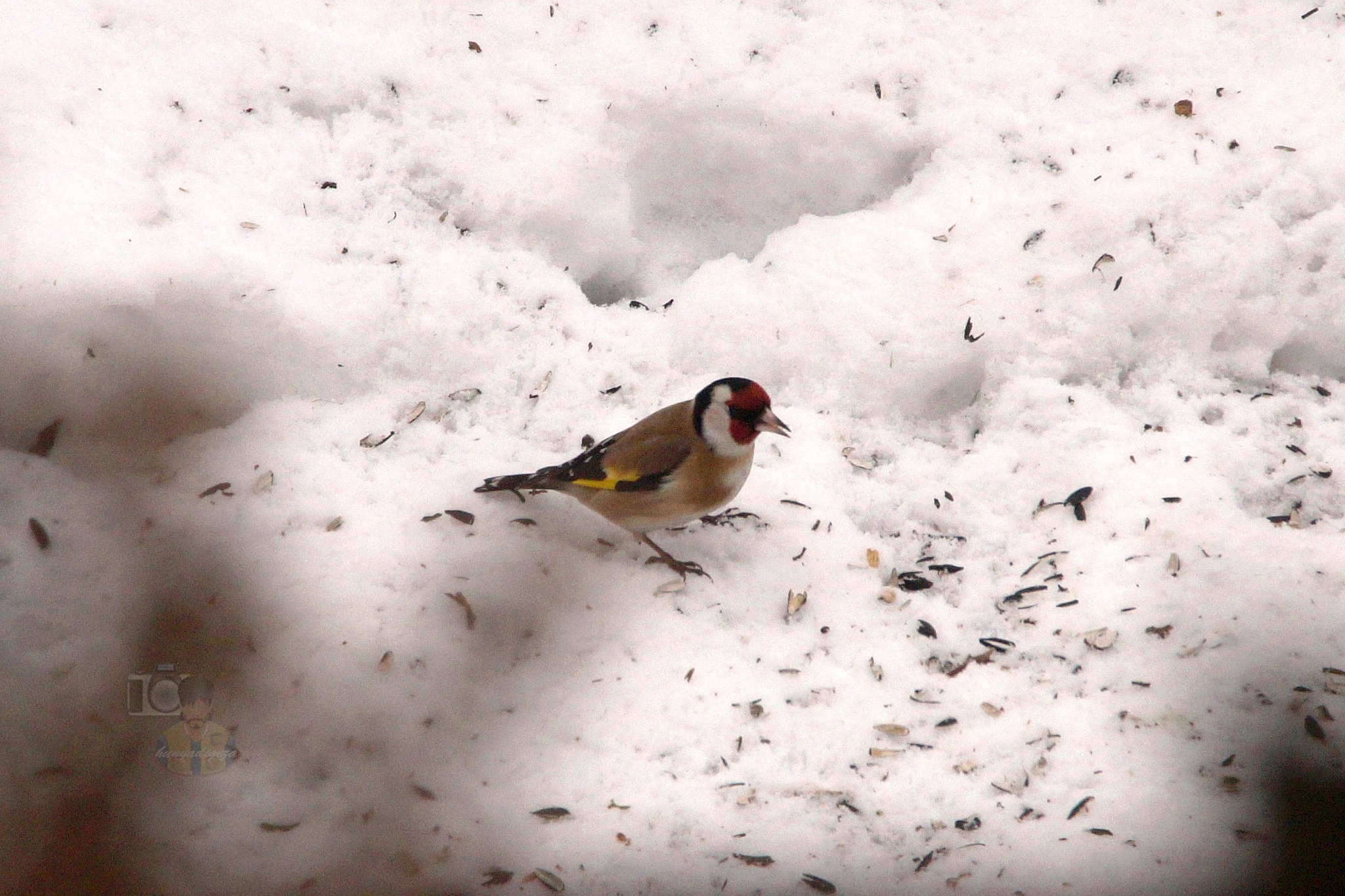 Mar.03, The goldfinch in my garden by hunyadigeza