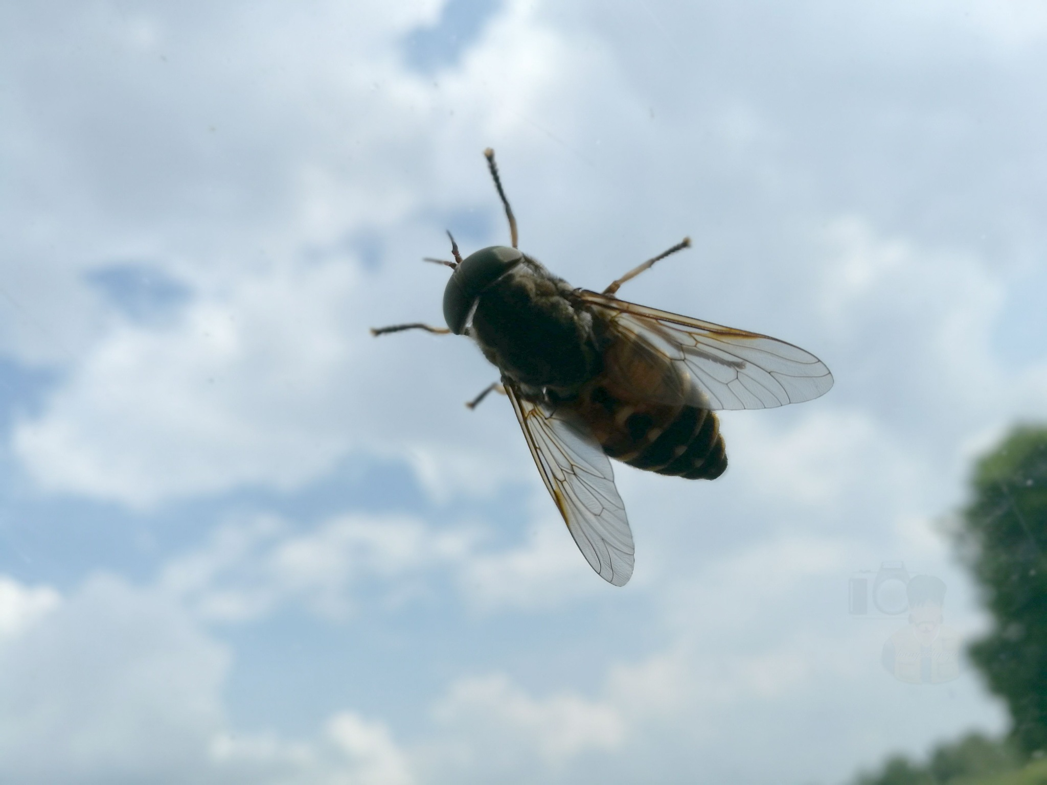 June 06, Horse-fly on my car's window by hunyadigeza