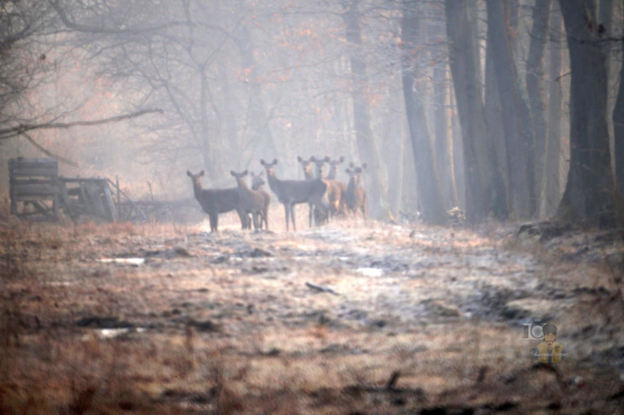 Febr.14, red deers on frosty, foggy forest path by hunyadigeza