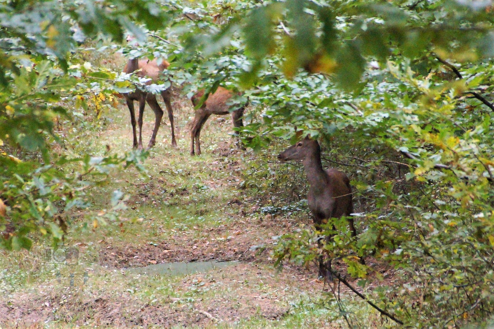 Oct.10, three red deer in forest by hunyadigeza
