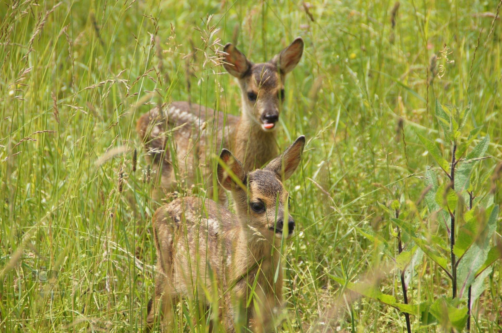 twin roe deer fawn by hunyadigeza