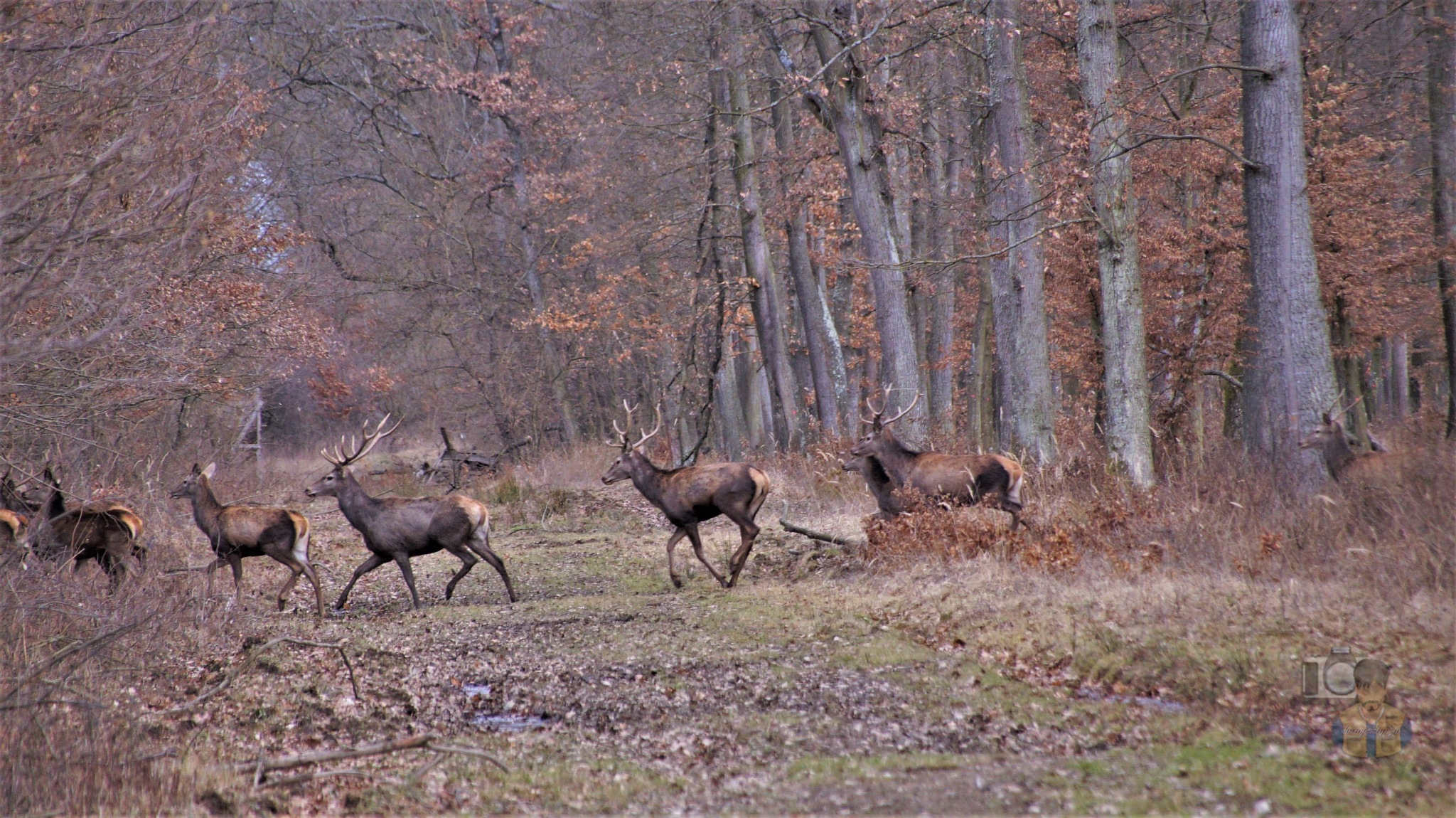 February 14, today, red deers on forest path by hunyadigeza