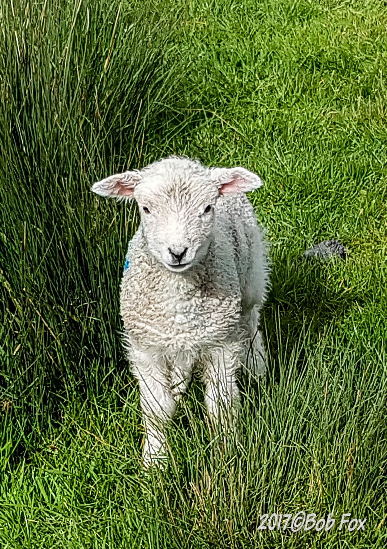 Little Lamb by Oxo123