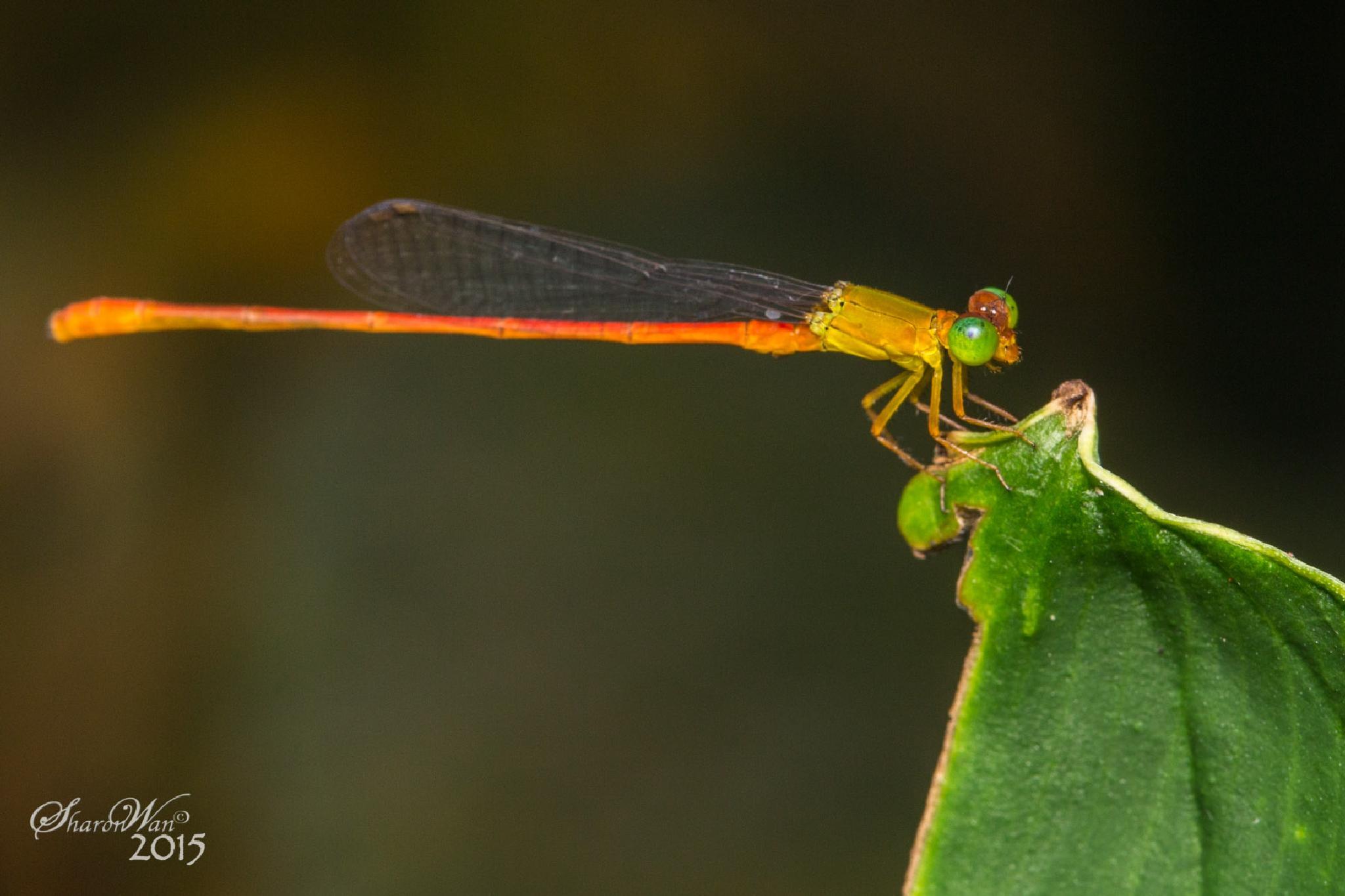 A tiny dragonfly by Sharon Wan