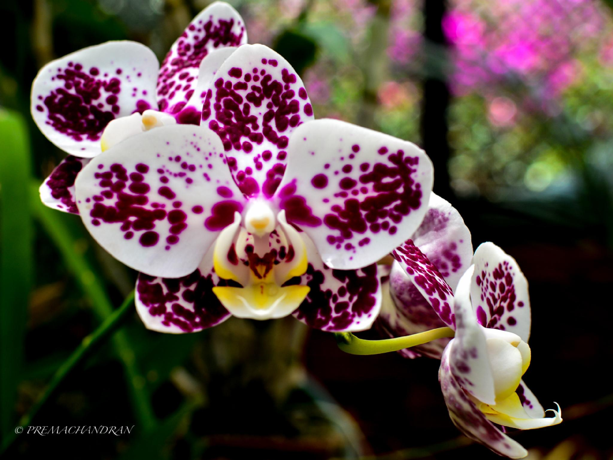 Orchid by Dr.K.Premachandran