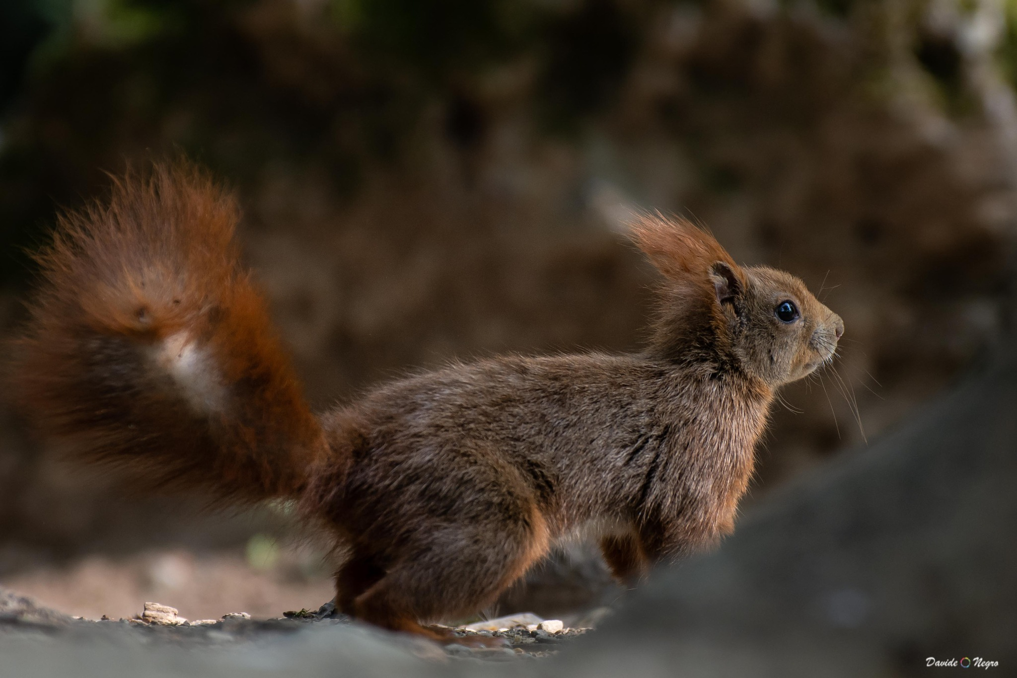 red squirrel by DavideNegro
