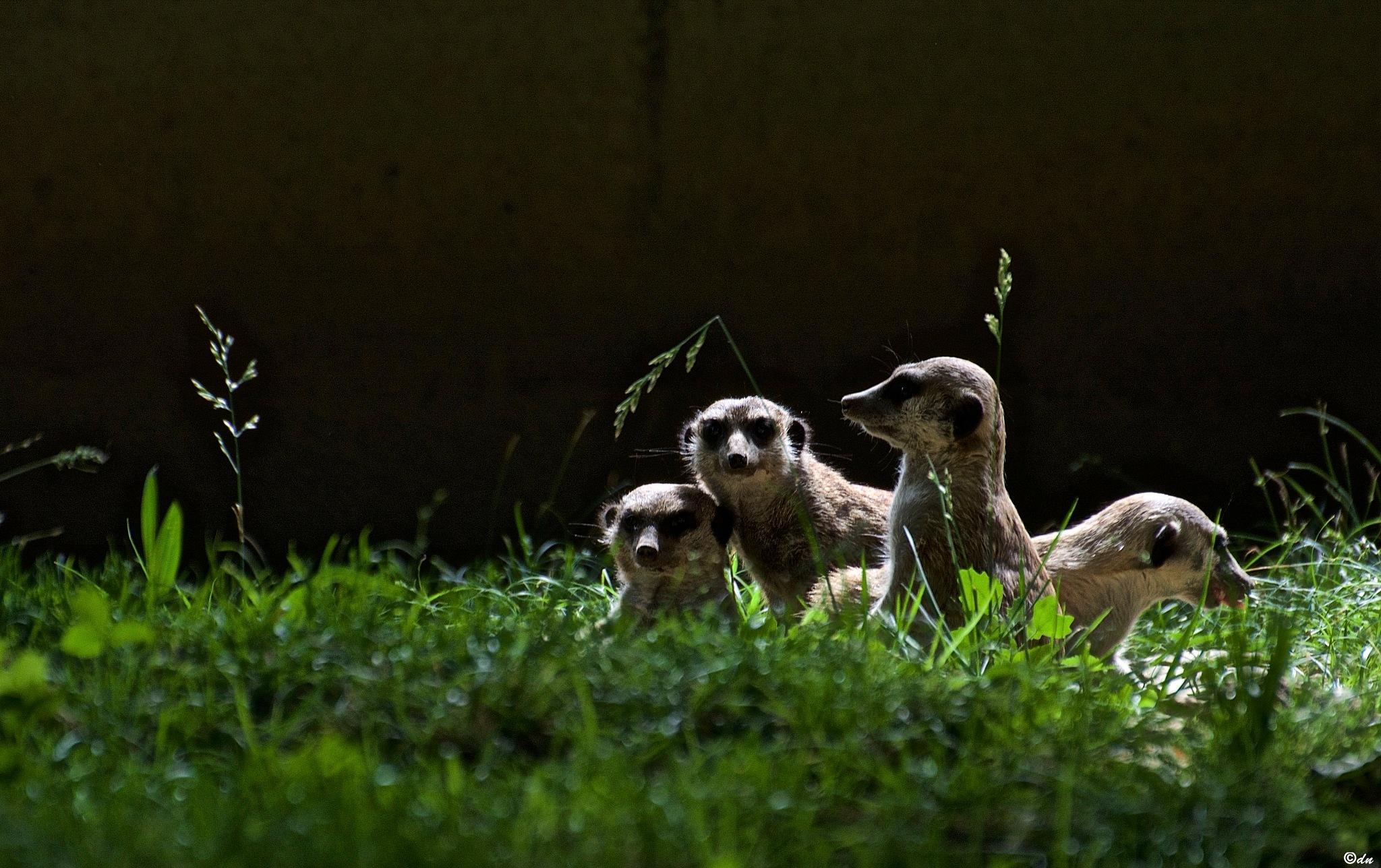 suricati by DavideNegro